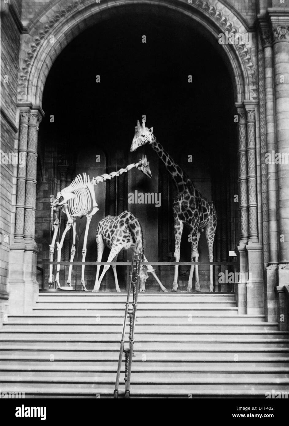 Giraffes on steps, October 1903 at the Natural History Museum, London - Stock Image