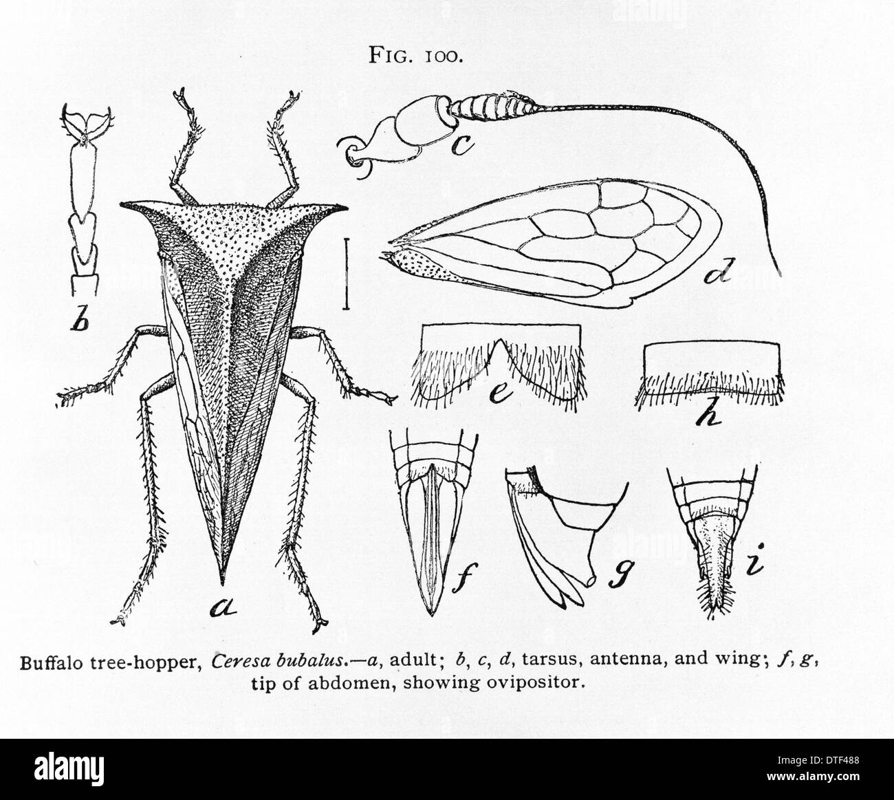 Fig 100. Ceresa bubalus, buffalo tree-hopper - Stock Image