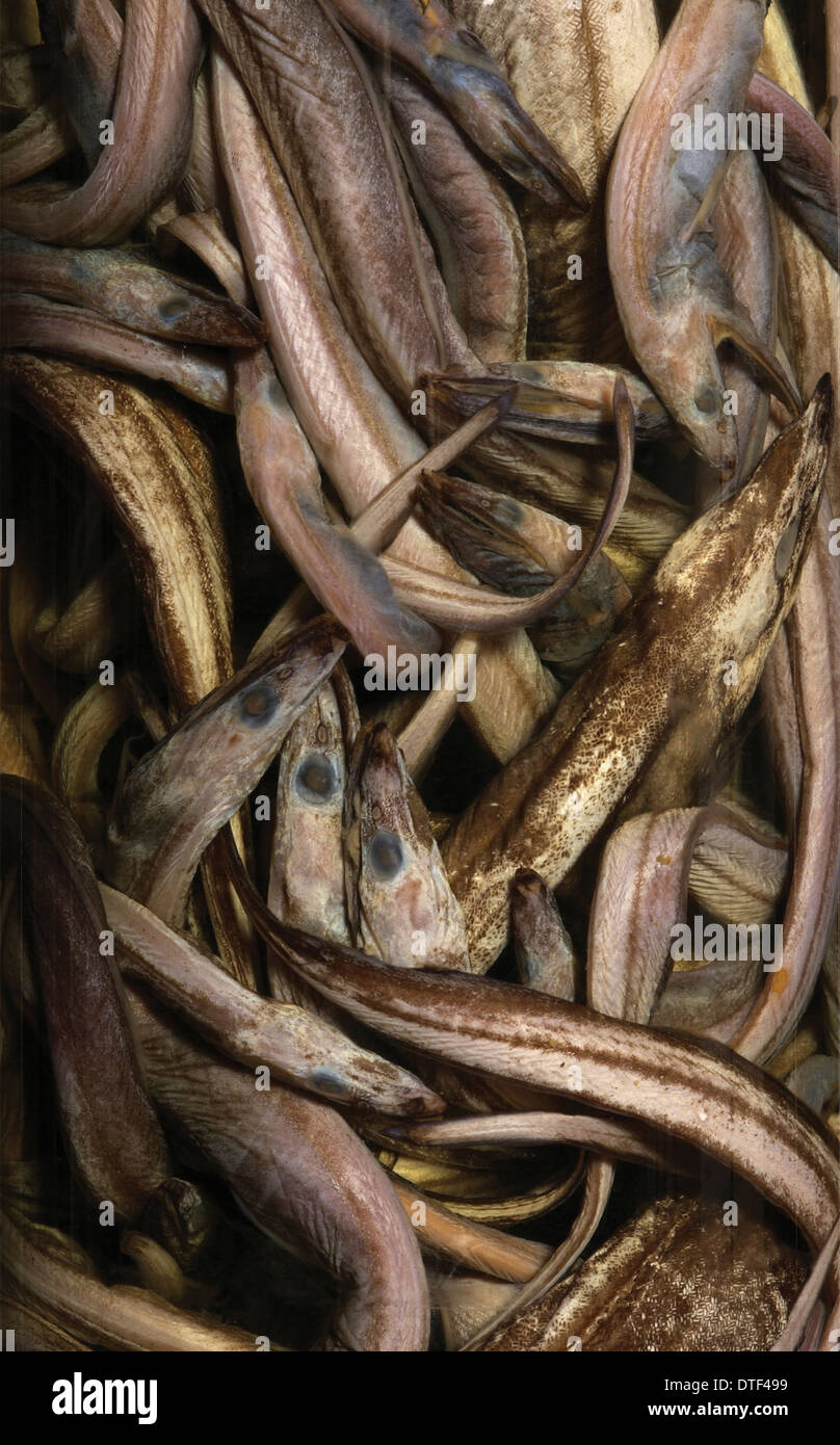 Synaphobranchus kaupi, arrowtooth eel Stock Photo