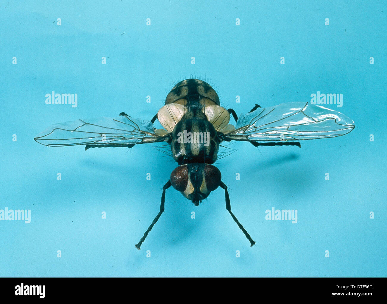 Musca domestica, house fly Stock Photo