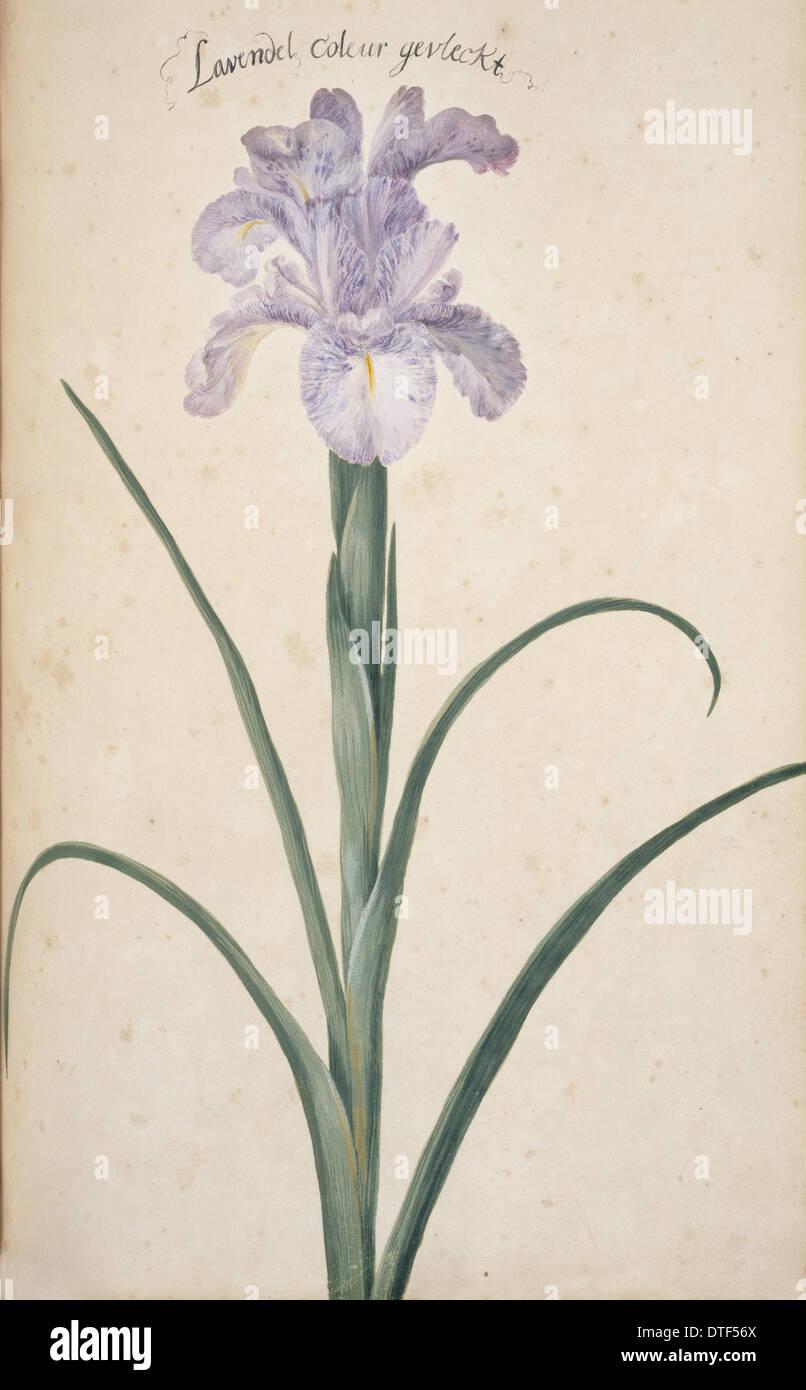 Iris cf. germanica, bearded iris - Stock Image