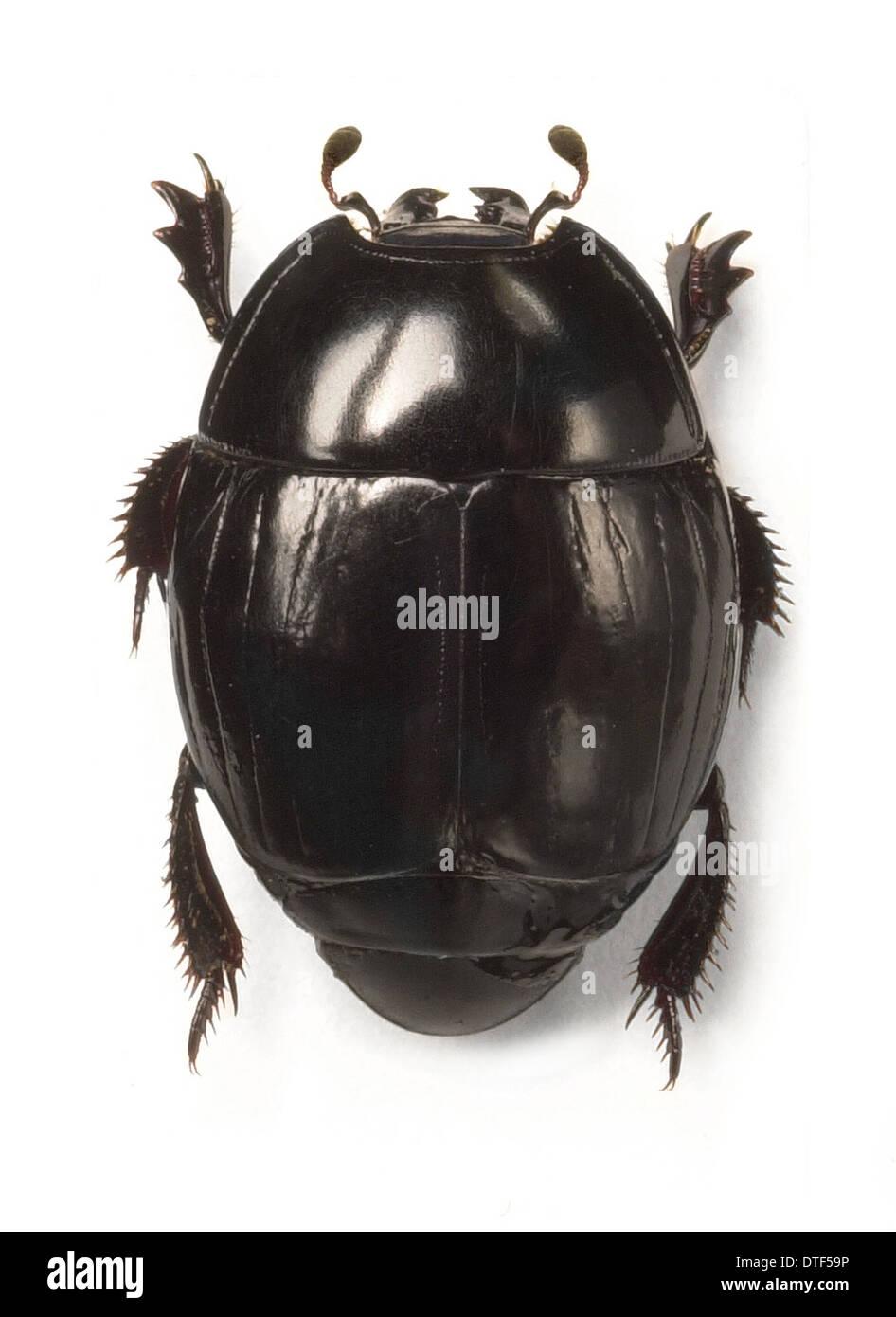 Clown beetle - Stock Image