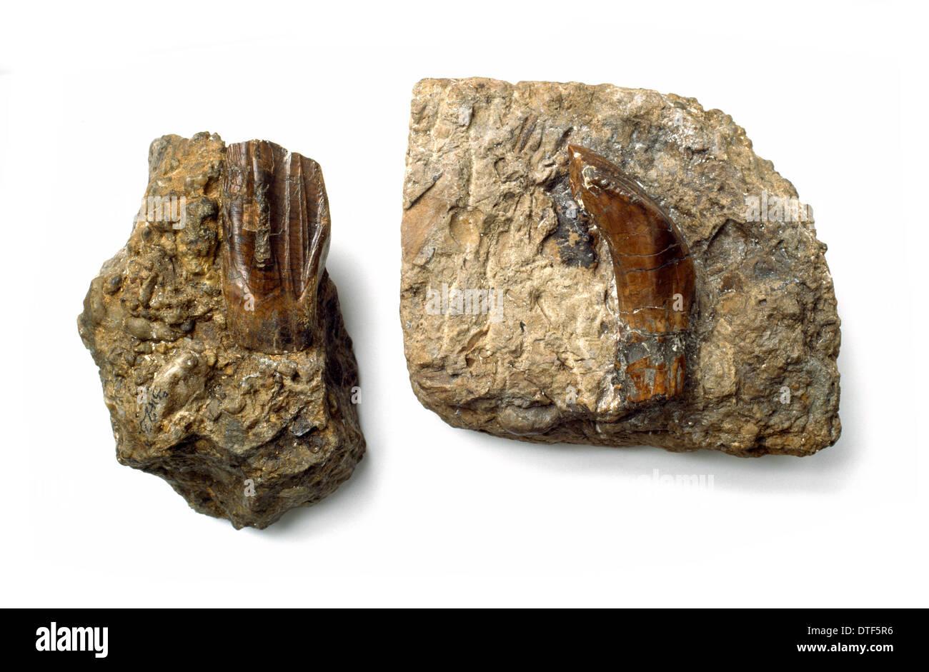 Iguanodon teeth - Stock Image