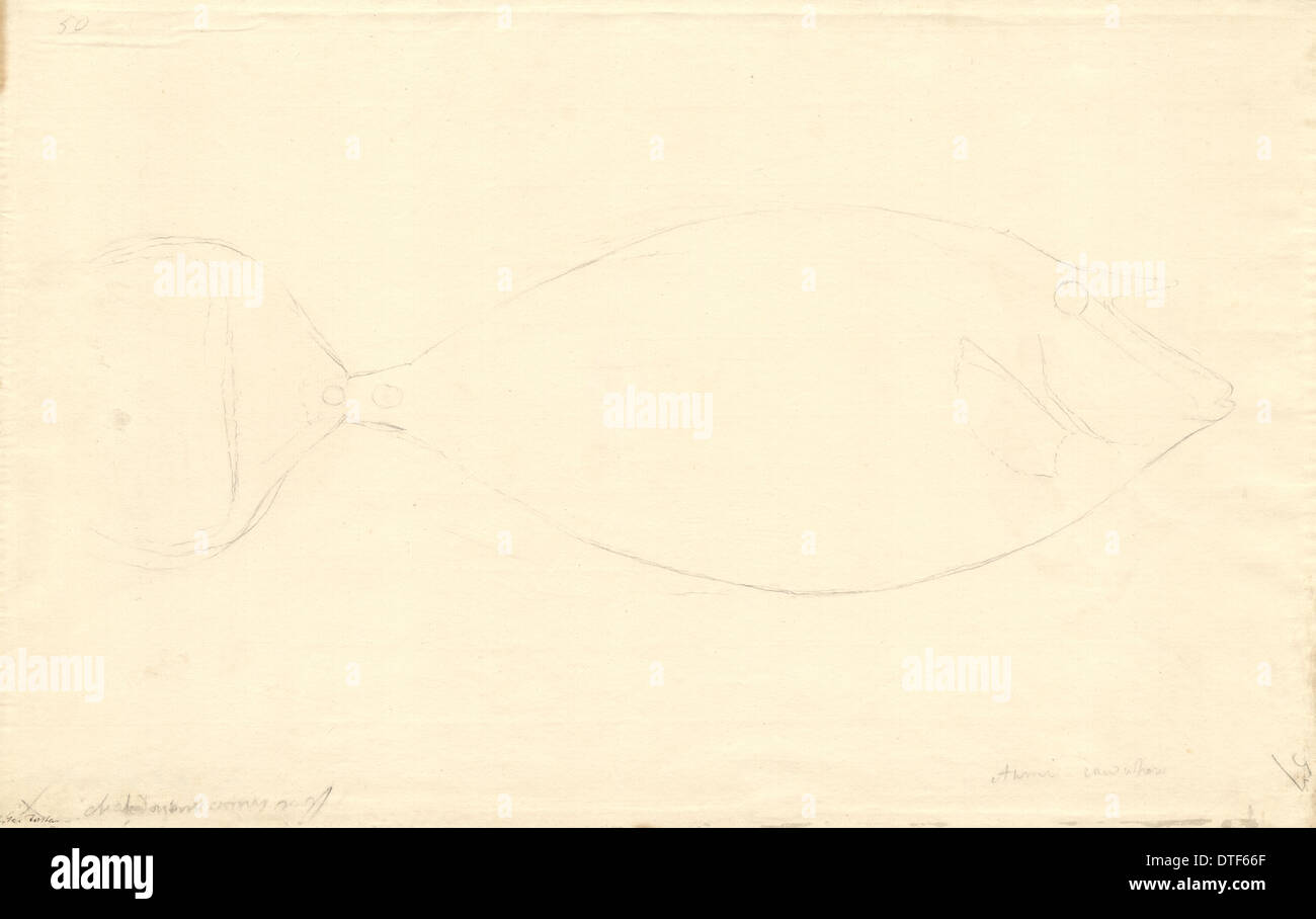 Fish illustration by George Forster - Stock Image