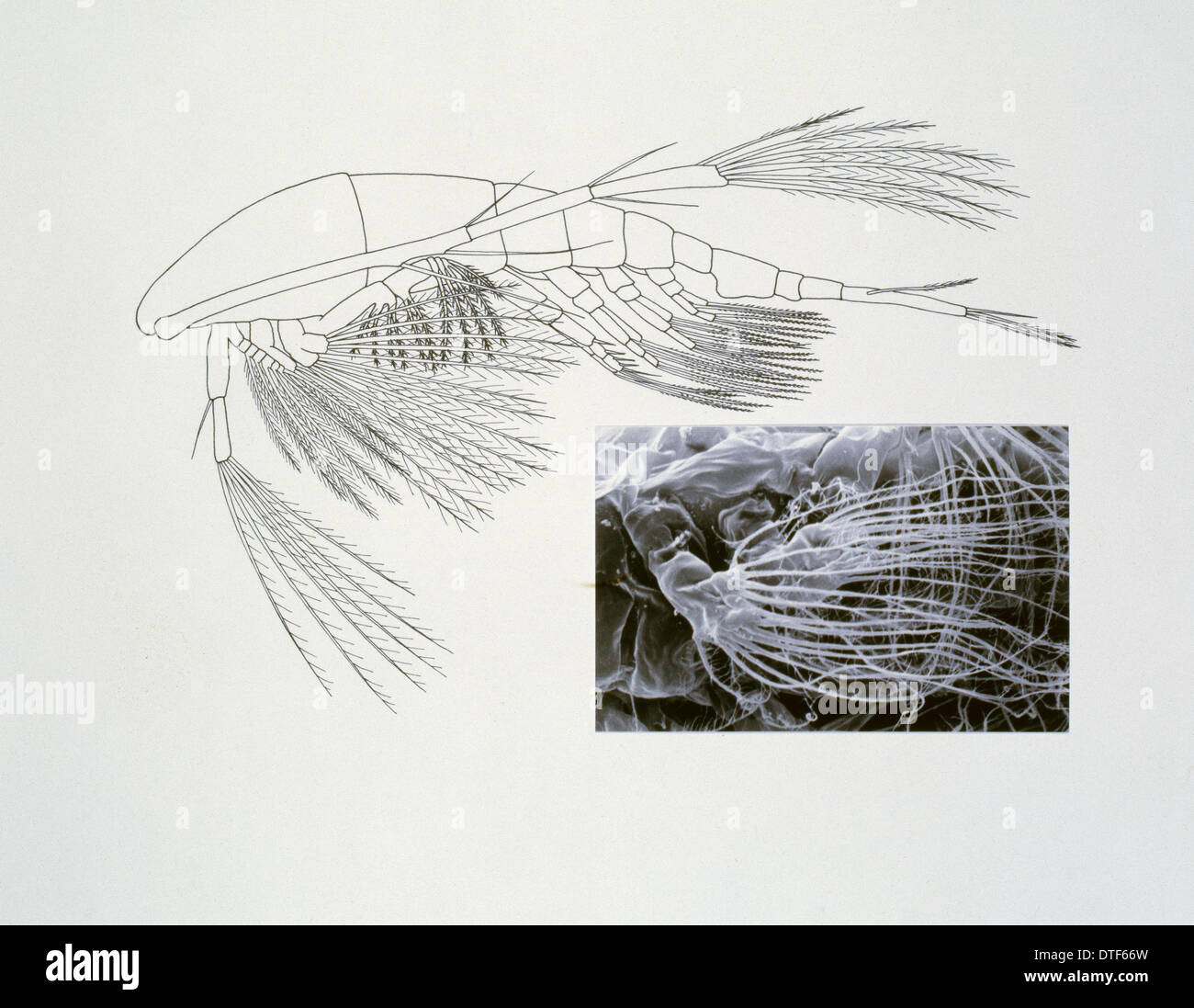 Line drawing of a shrimp-like crustacea - Stock Image