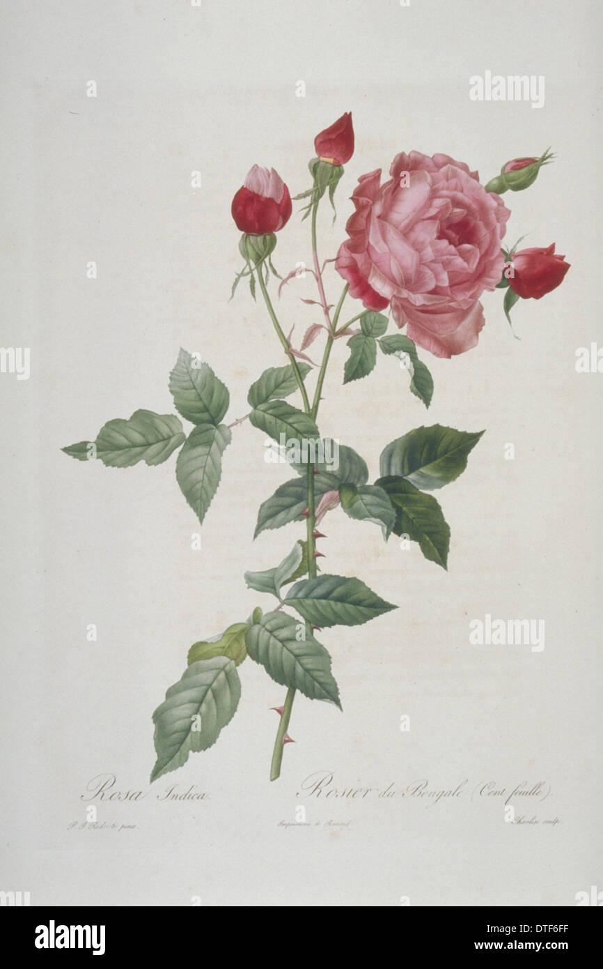 Rosa indica multipetala, hundred-petalled China rose Stock Photo