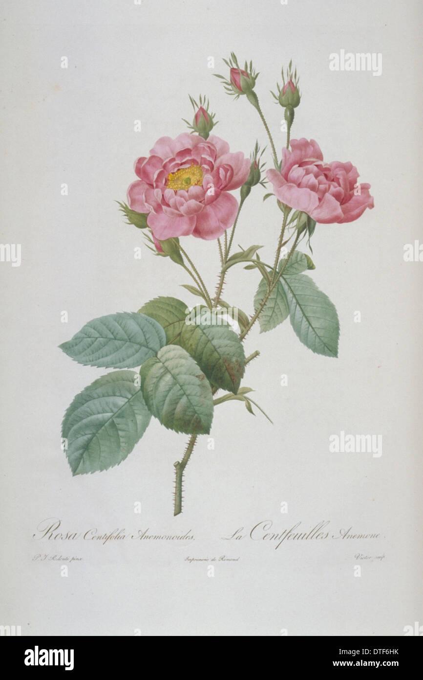 Rosa centifolia anemonoides, hundred-petalled anemone rose - Stock Image