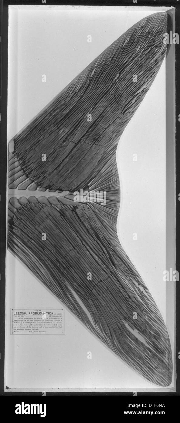 Leedsichthys Problematicus Stock Photo Alamy