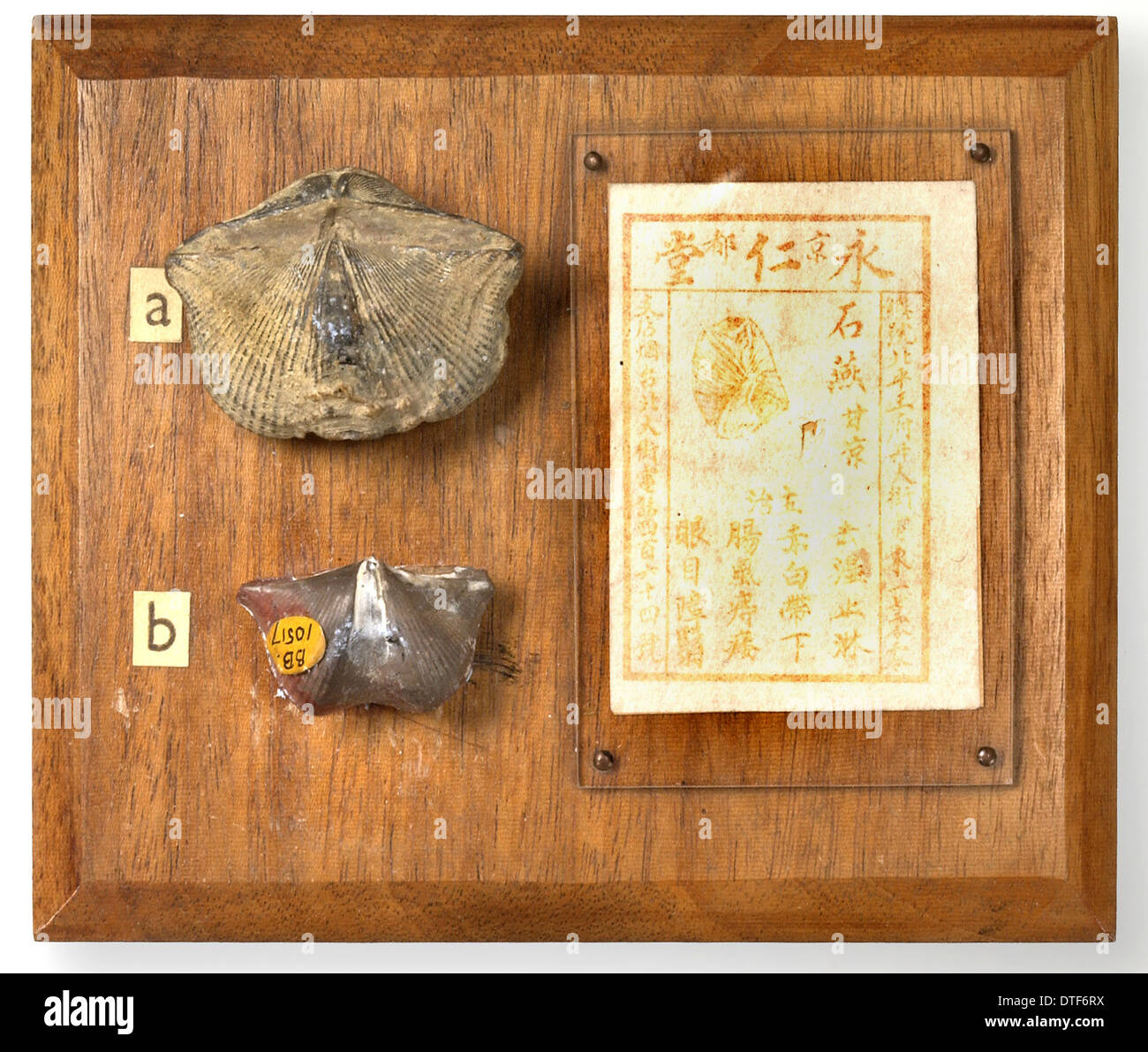 Brachiopods mounted with Chinese medicinal recipe - Stock Image