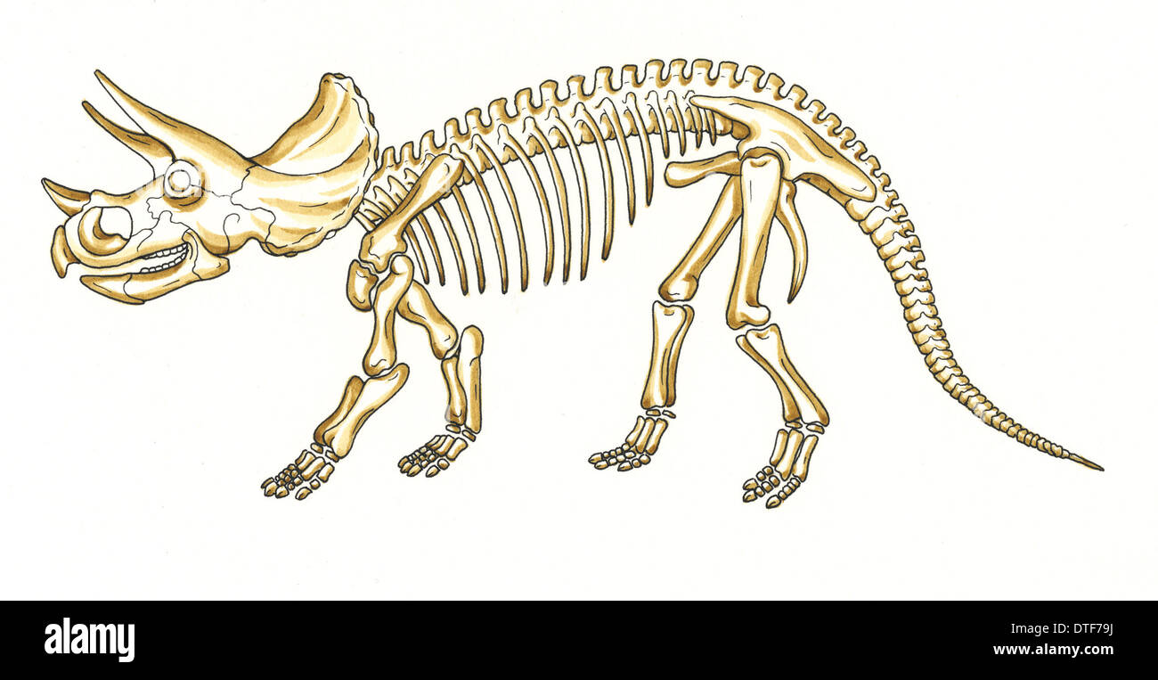 Triceratops Skeleton Stock Photos & Triceratops Skeleton