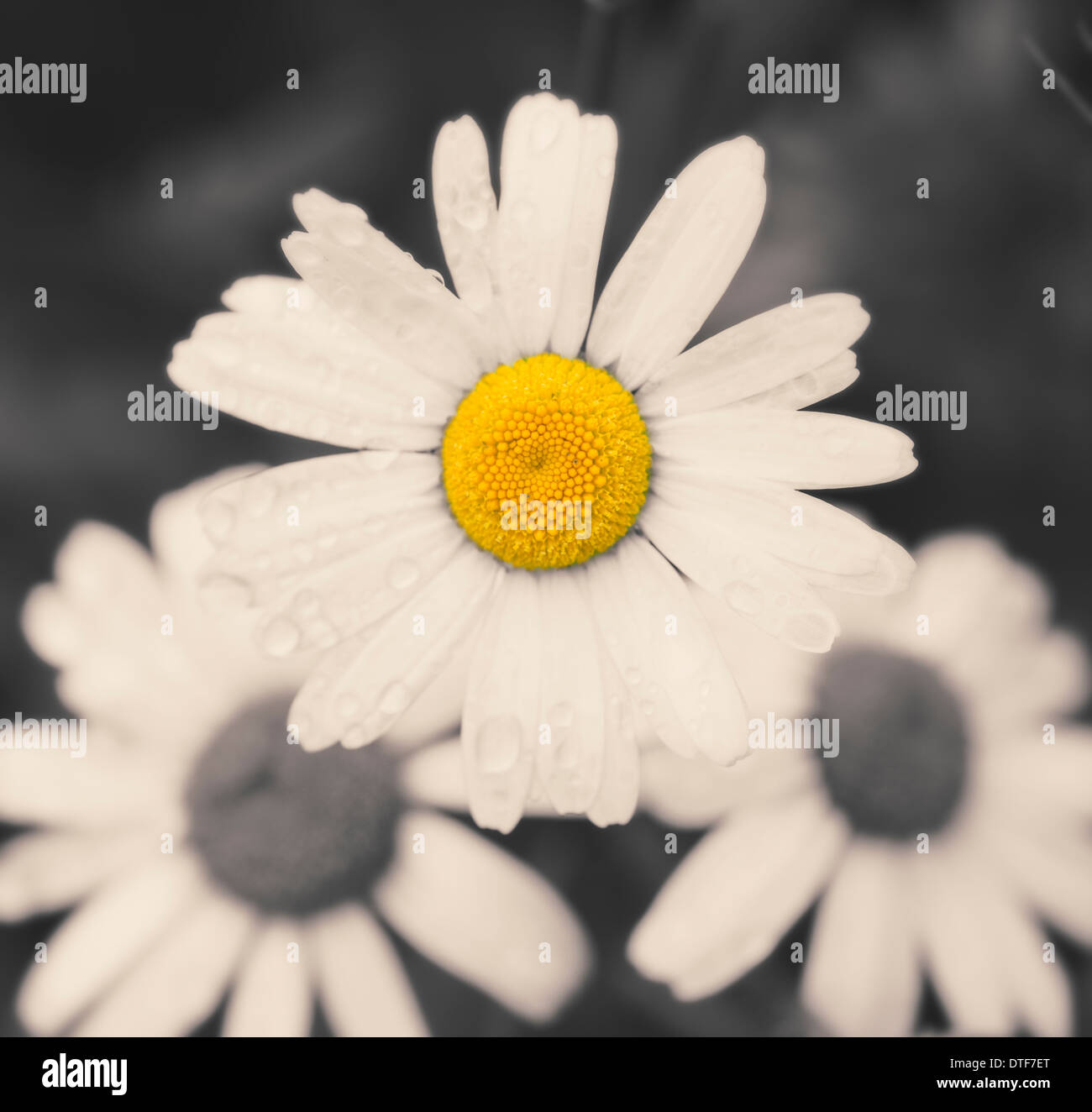 Macro Shot Of Yellow And White Daisy Flowers In Black And White With