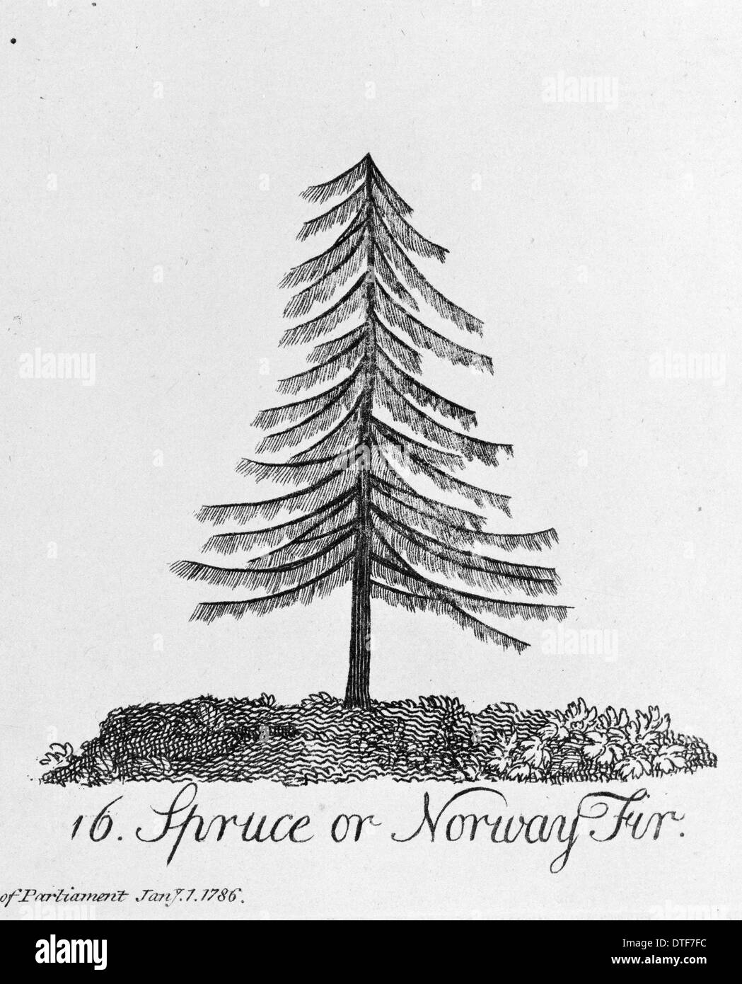 Spruce or Norway Fir - Stock Image
