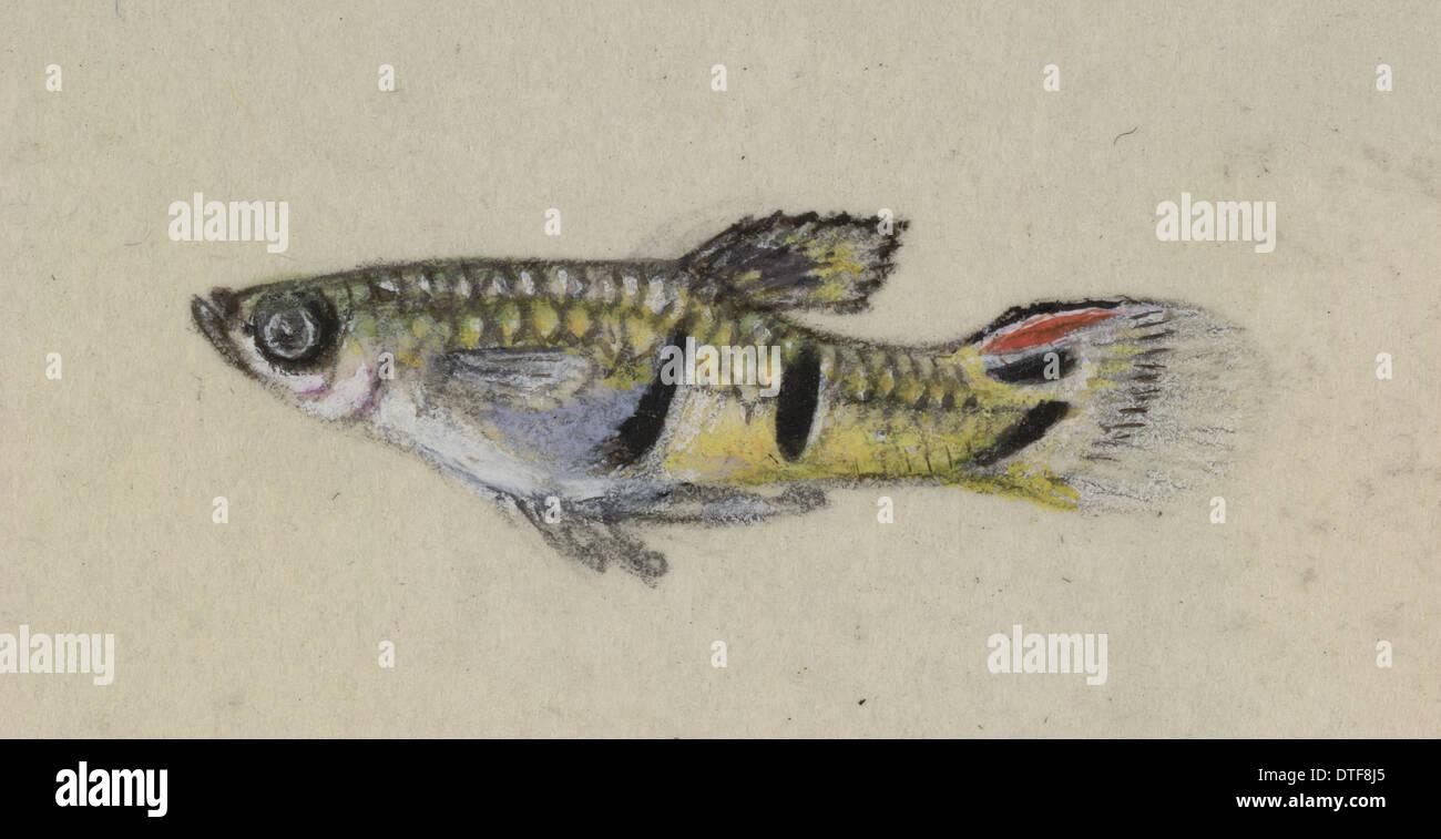 Poeciliidae sp, Guppy Stock Photo