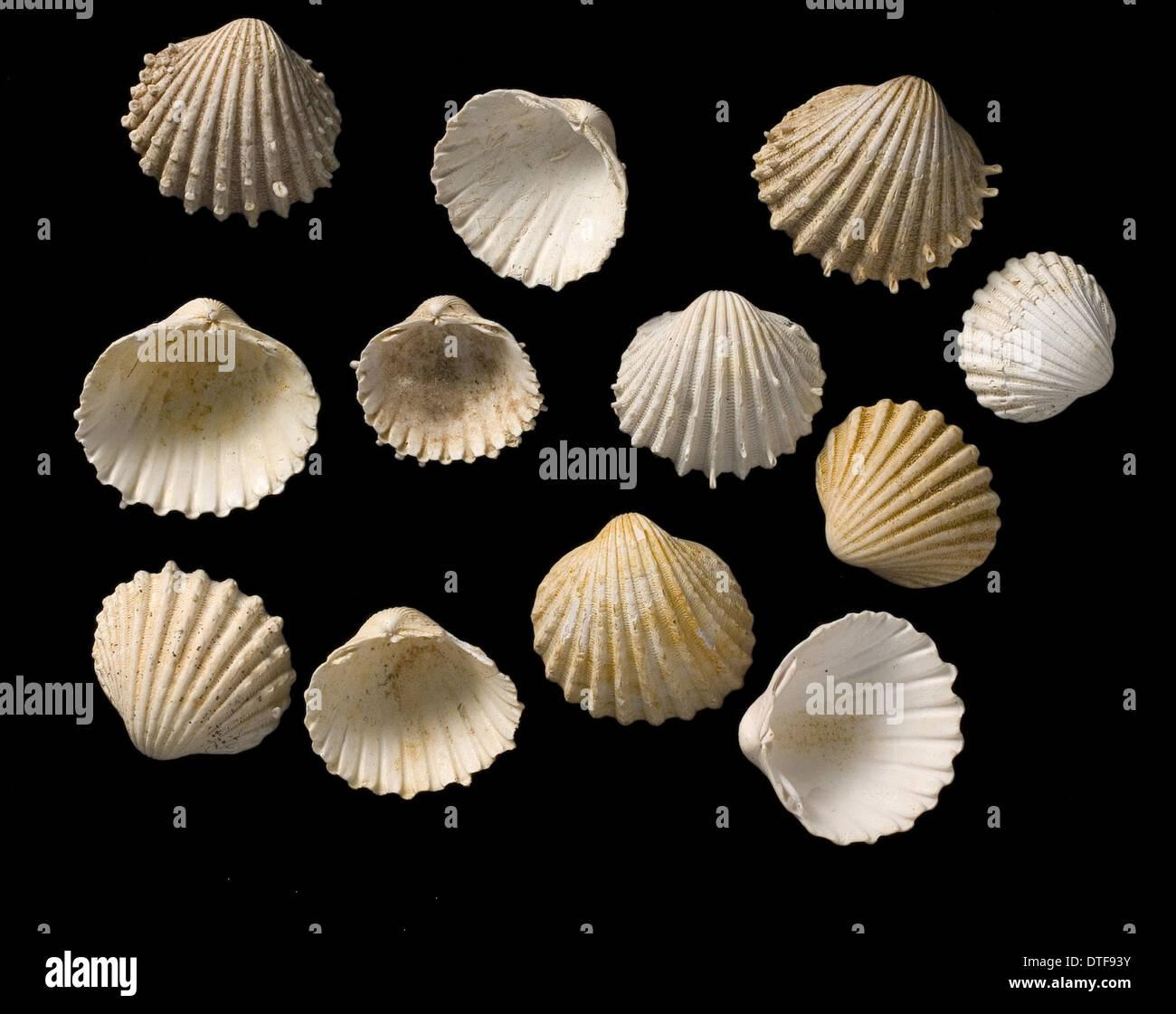 Shells from the genus Cardium - Stock Image