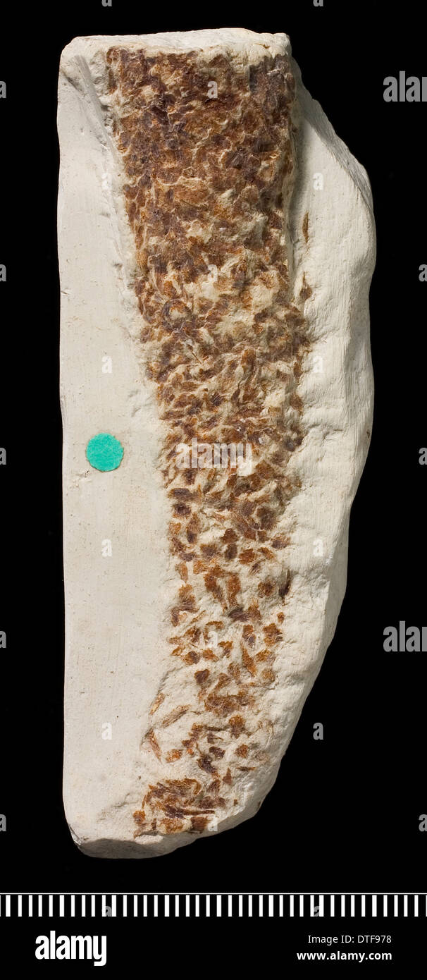 Trace fossil left by a Cretaceous worm - Stock Image