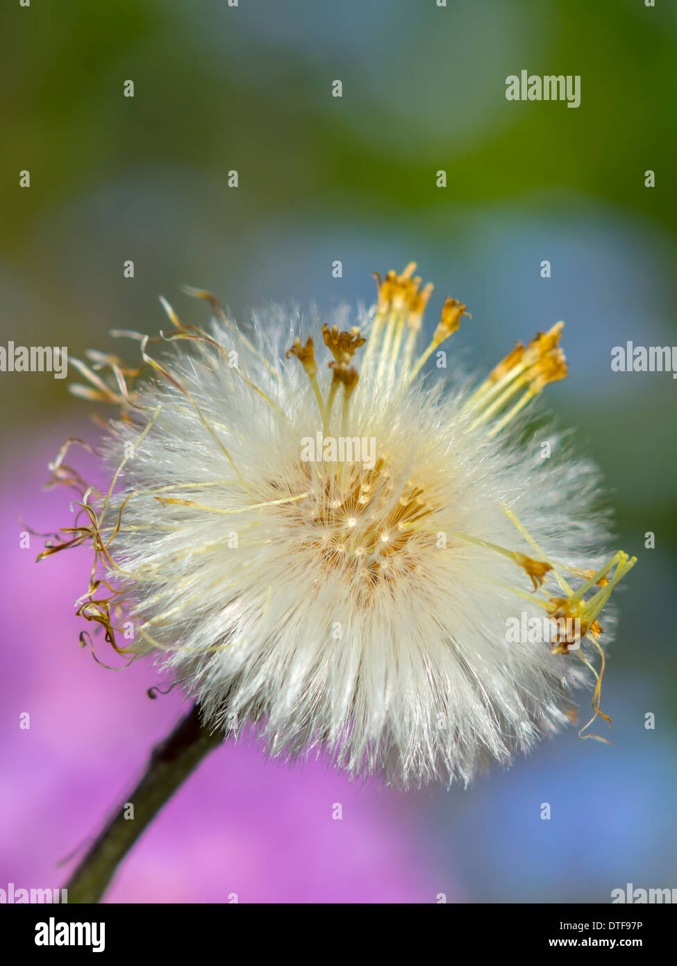 Dandelion seed On A Colorful Blurred Background - Stock Image