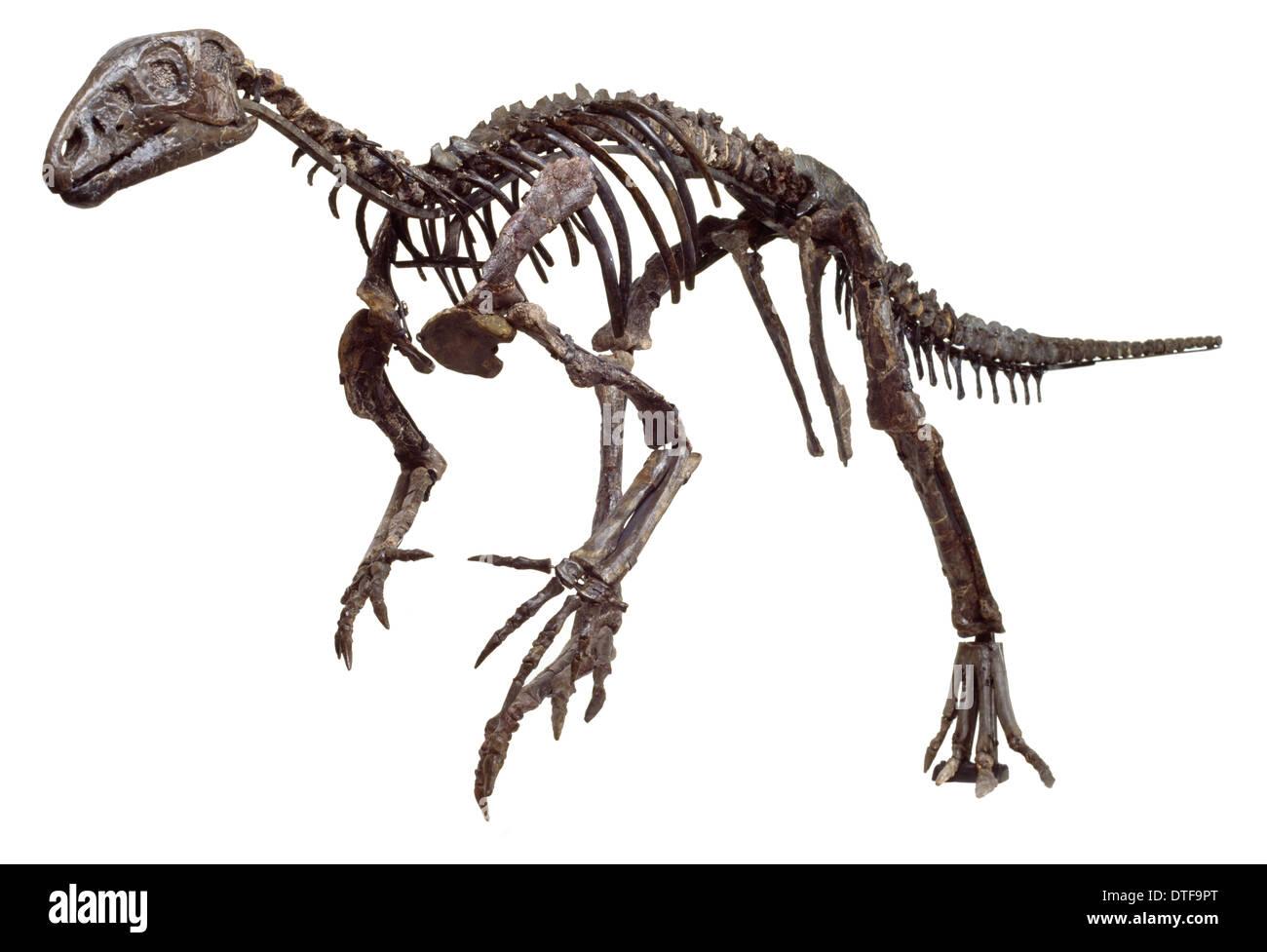 Hypsilophodon skeleton - Stock Image