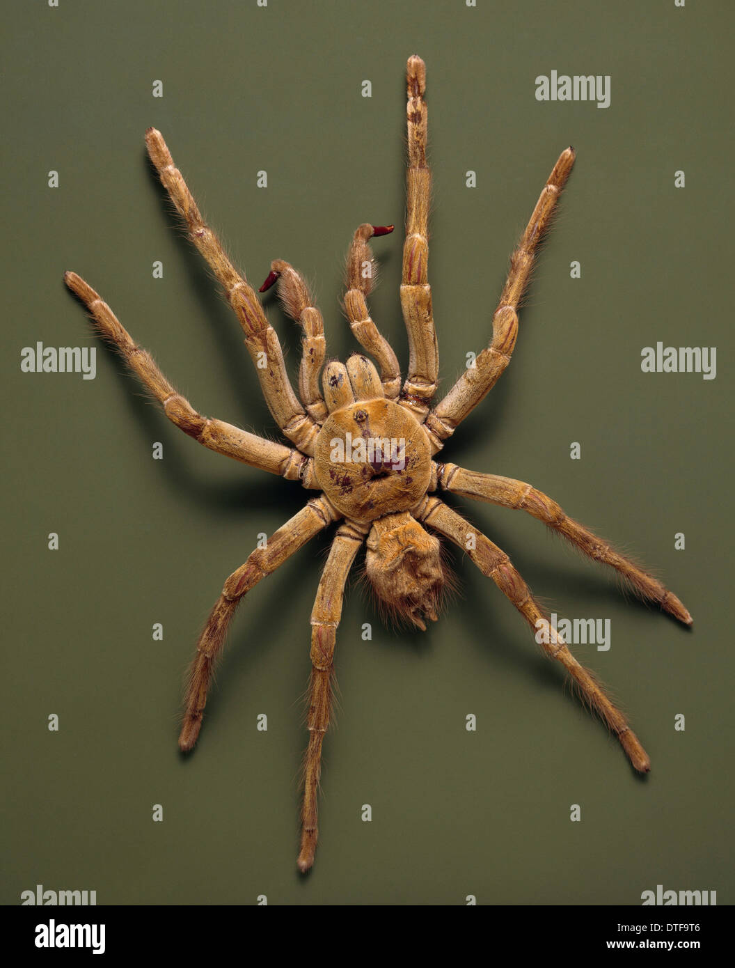 Tarantula Anatomy Stock Photos & Tarantula Anatomy Stock Images - Alamy
