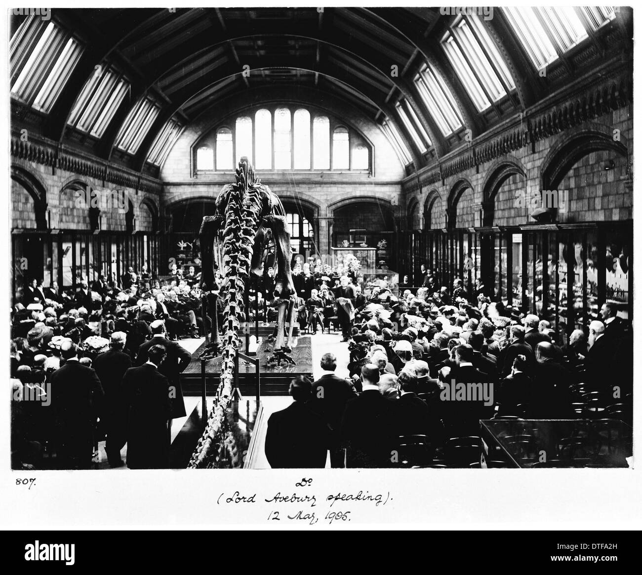 Diplodocus presented to the museum, 1905 Stock Photo