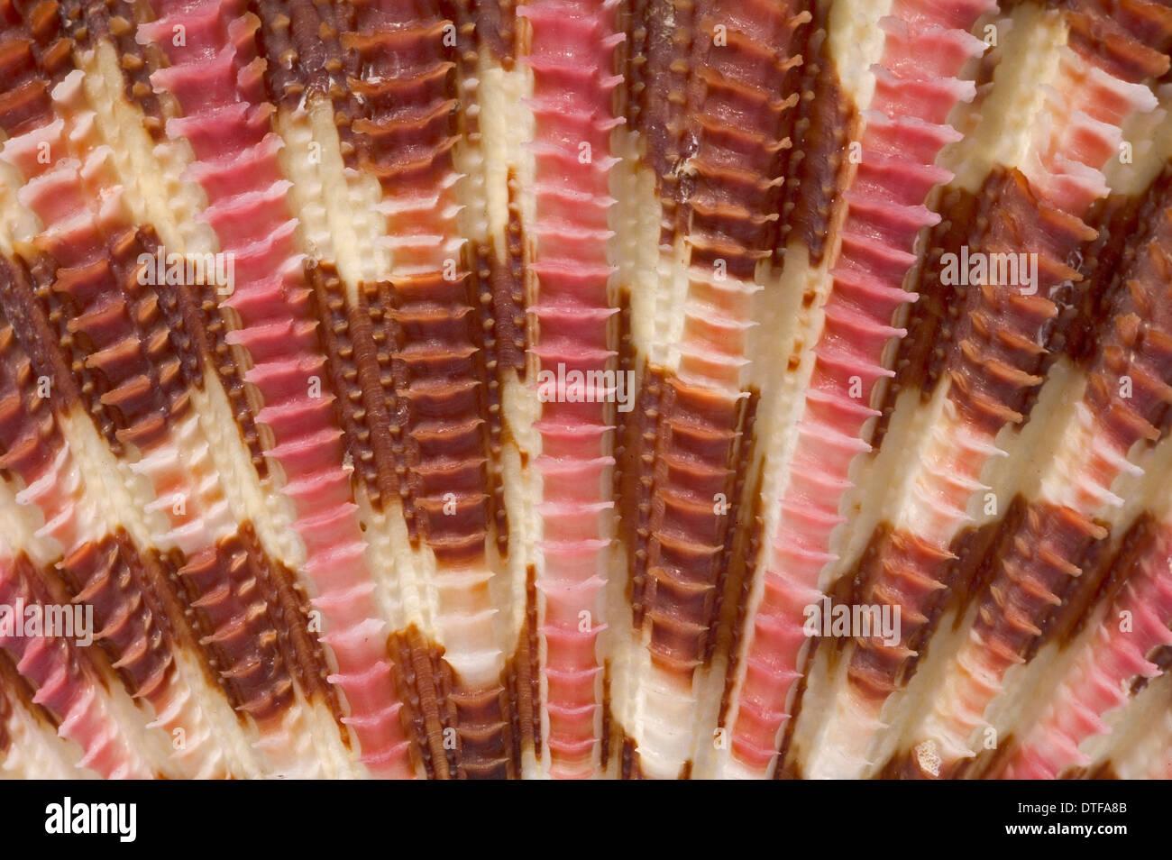 Gloripallium pallium, glory scallop - Stock Image