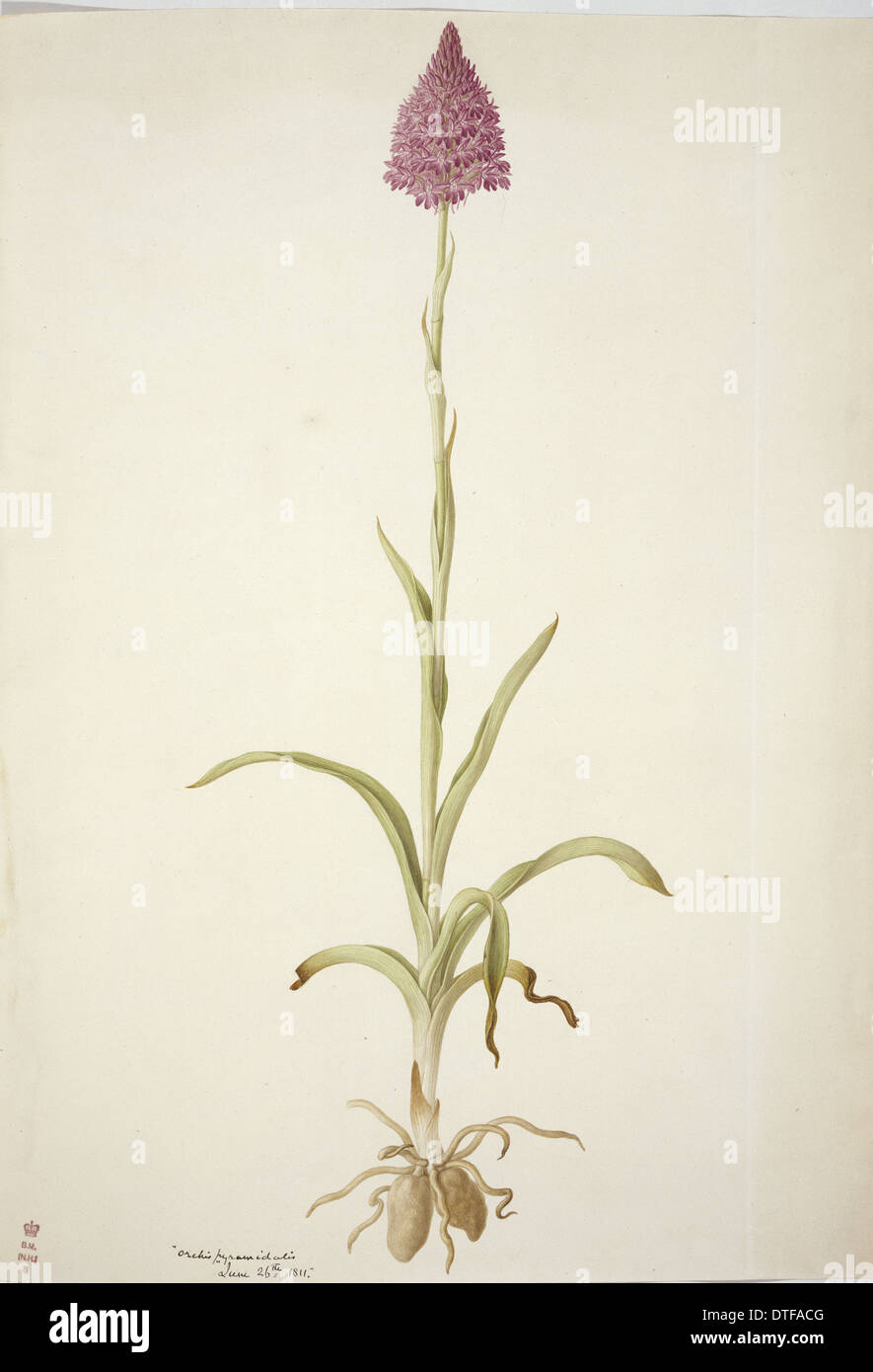 Plate 77 from British Orchids - Stock Image