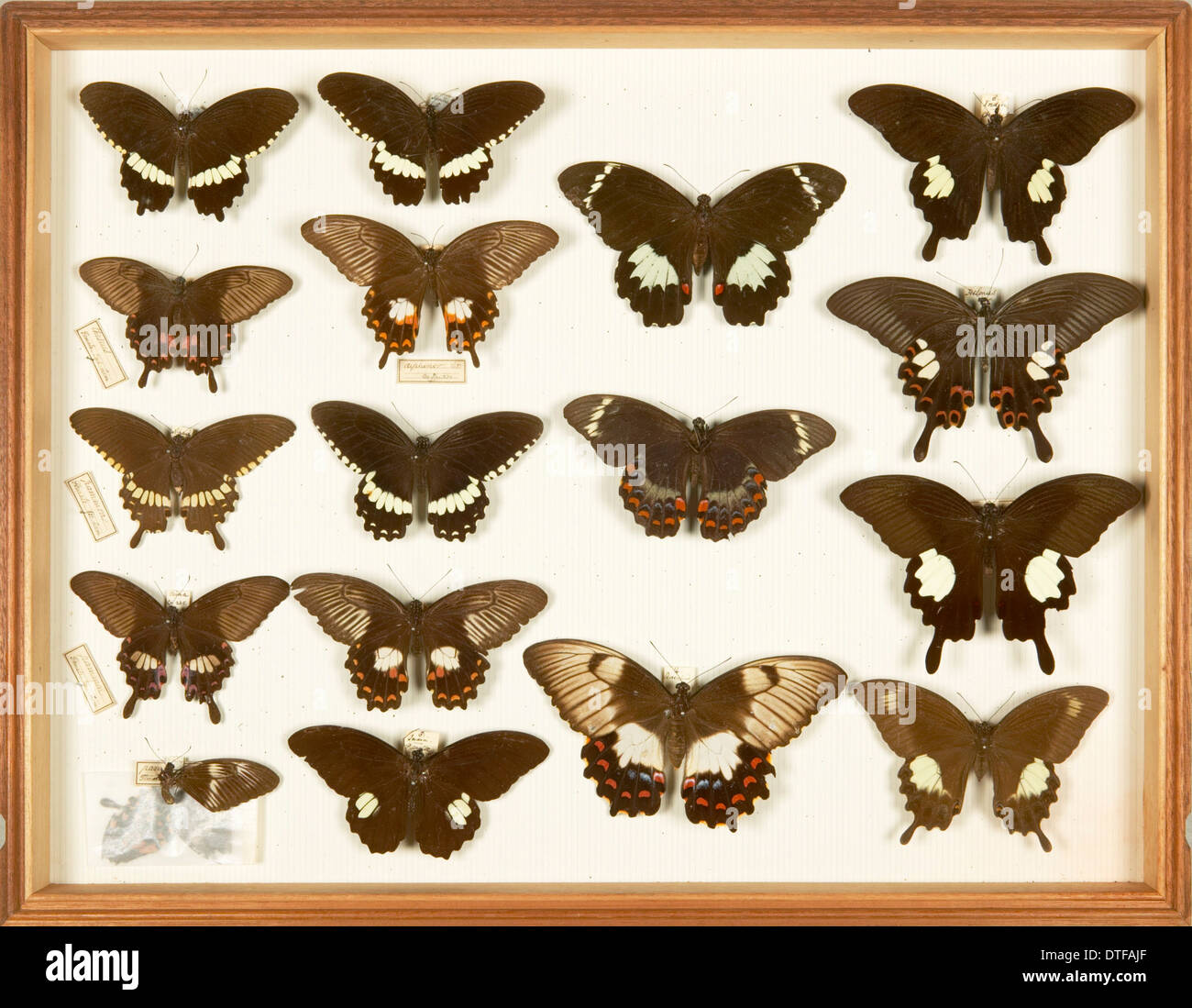 Entomological Specimens from the Wallace Collection - Stock Image