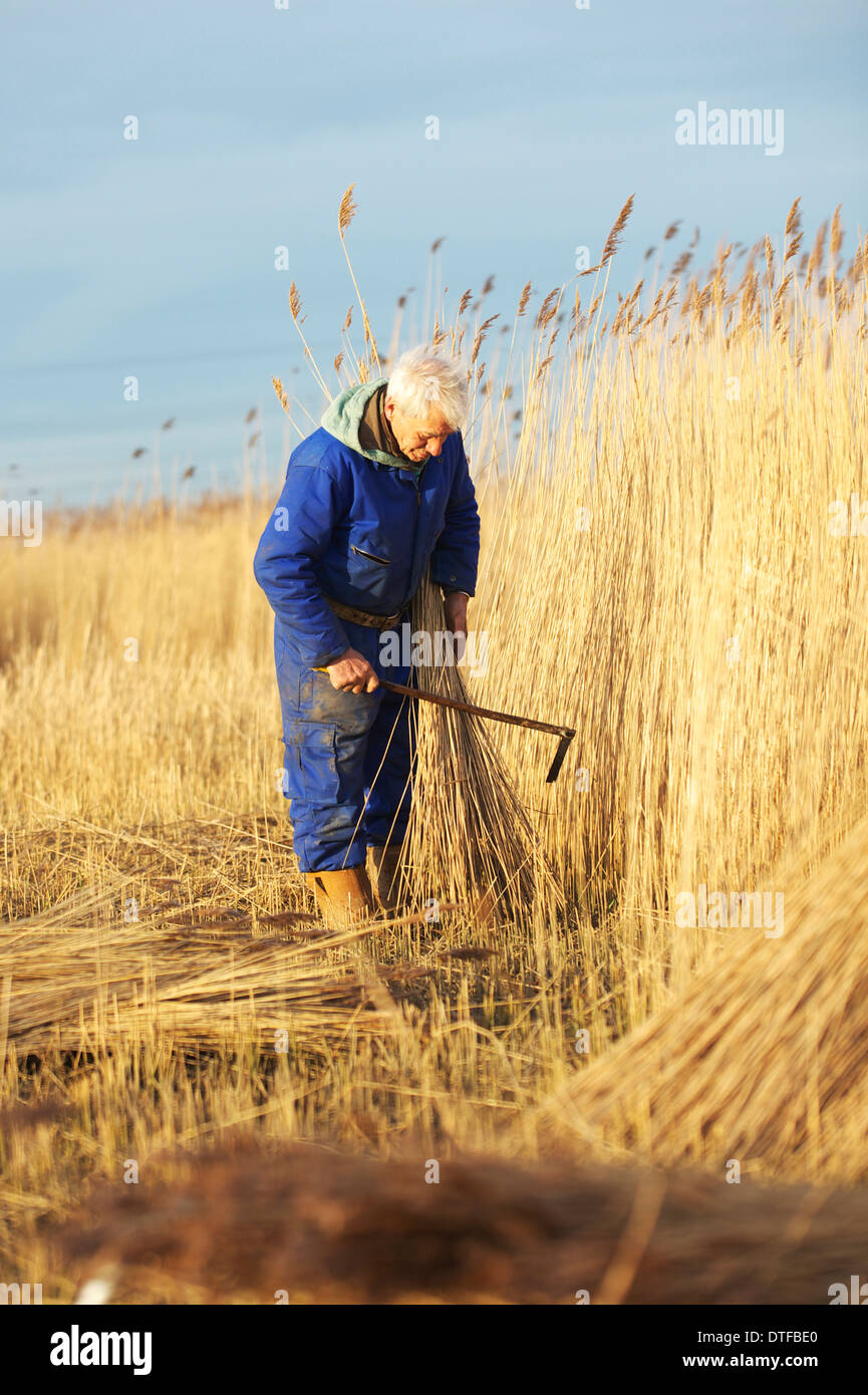 Wally Mason Reed Cutter on the Norfolk Broads, cutting reed using his own Scythe - Stock Image
