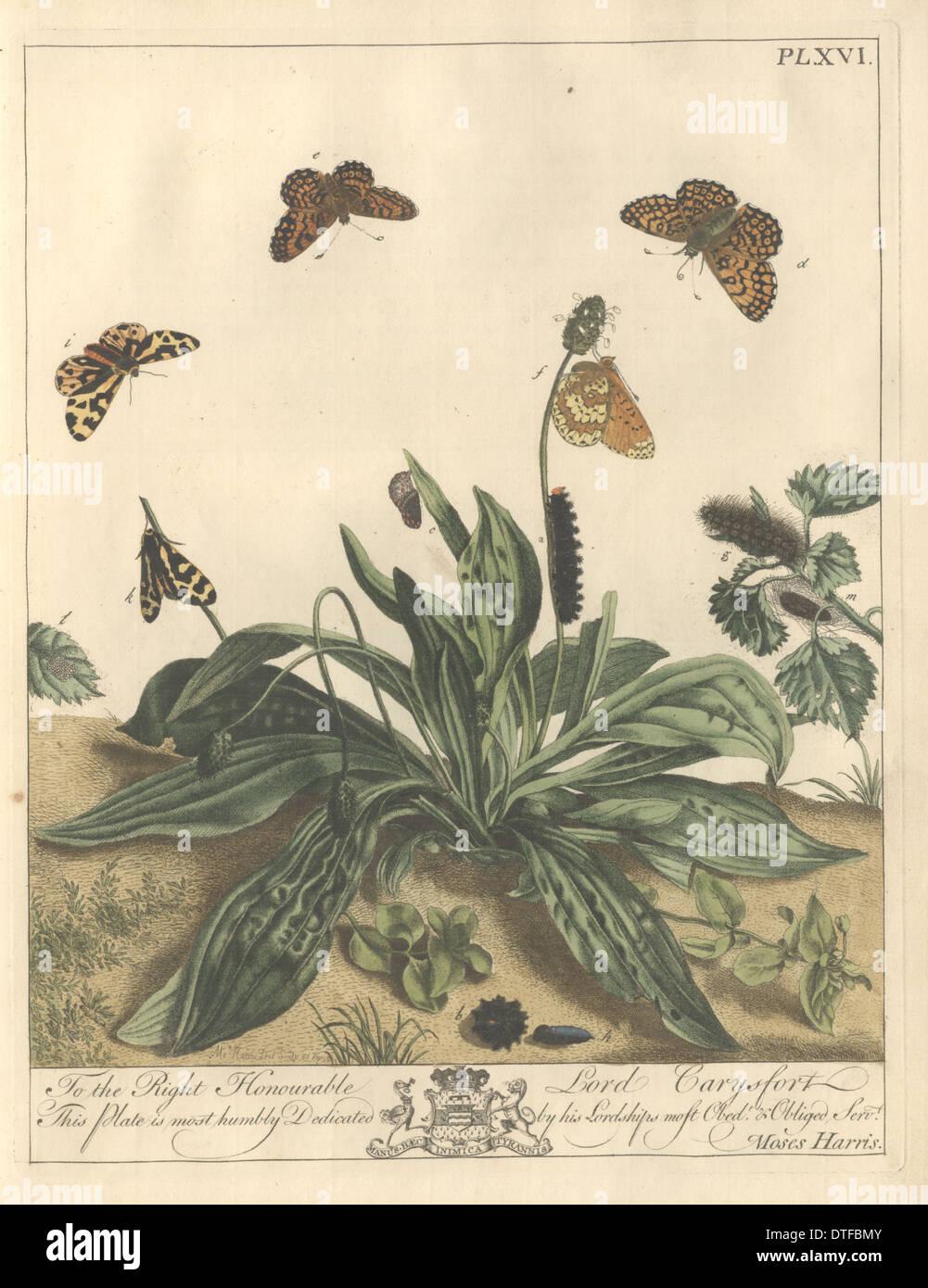 Plate XVI, The Glanvil Fritillaria - Stock Image