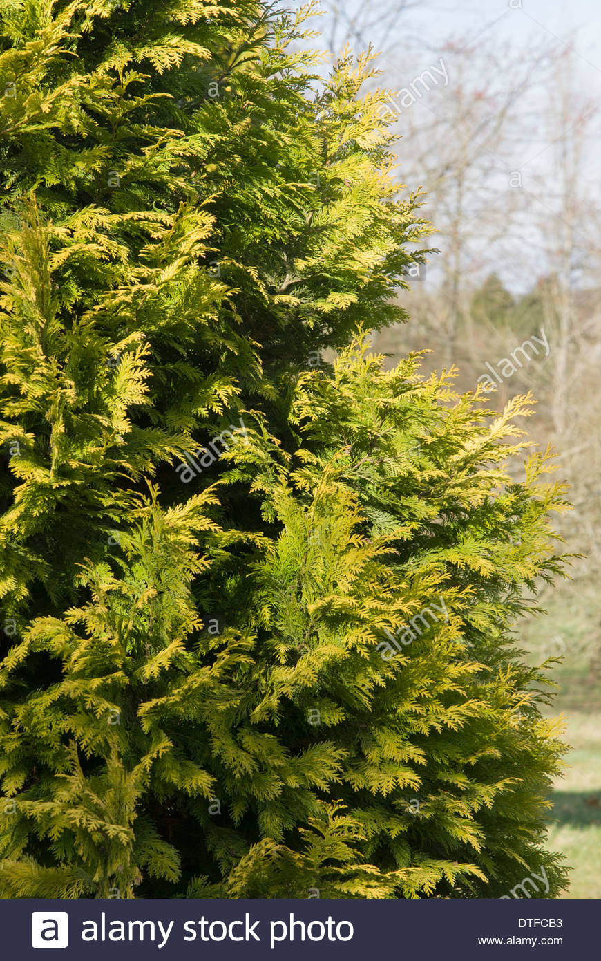 Chamaecyparis lawsoniana 'Moonshine'. - Stock Image