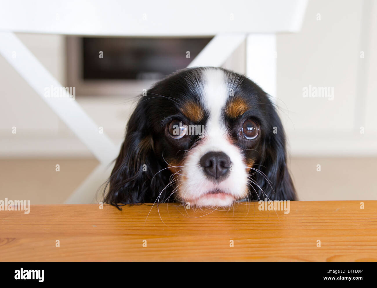 Dog Begging In The Kitchen Getting Food
