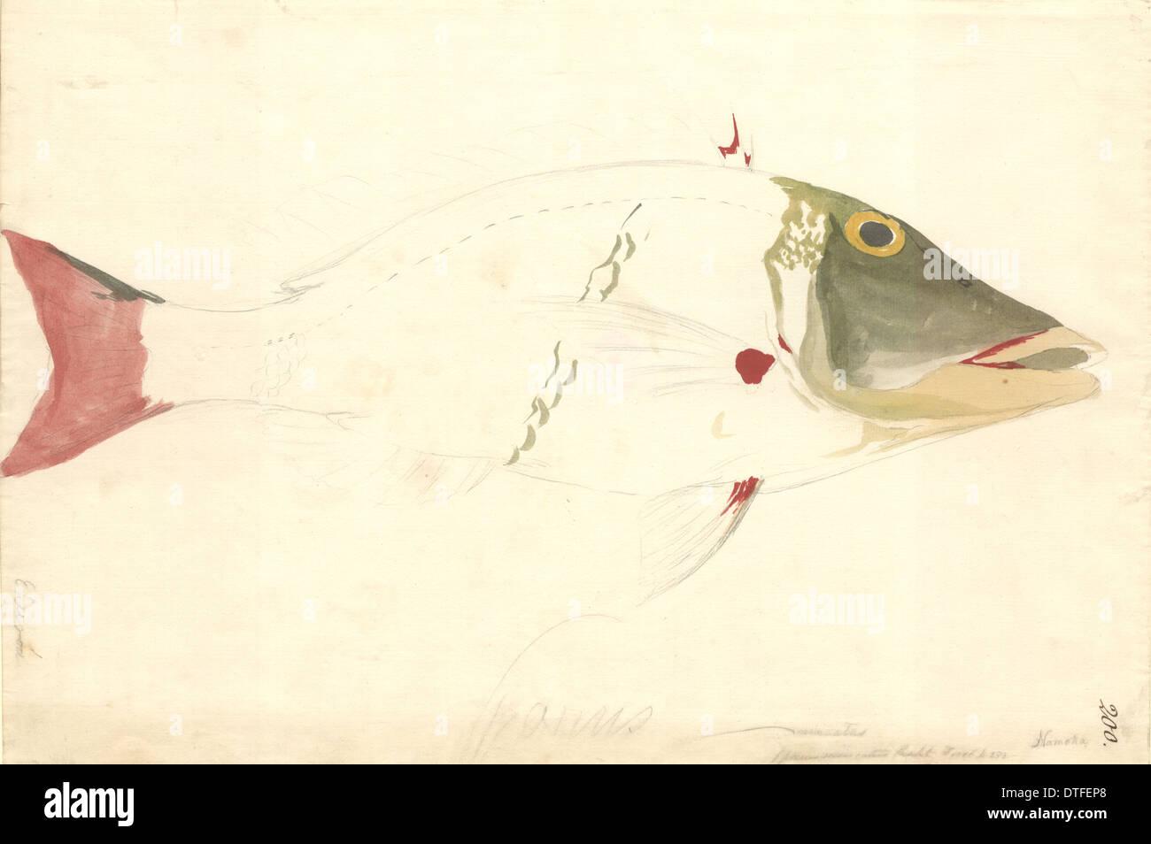Lethrinus miniatus, sweetlips emperor - Stock Image