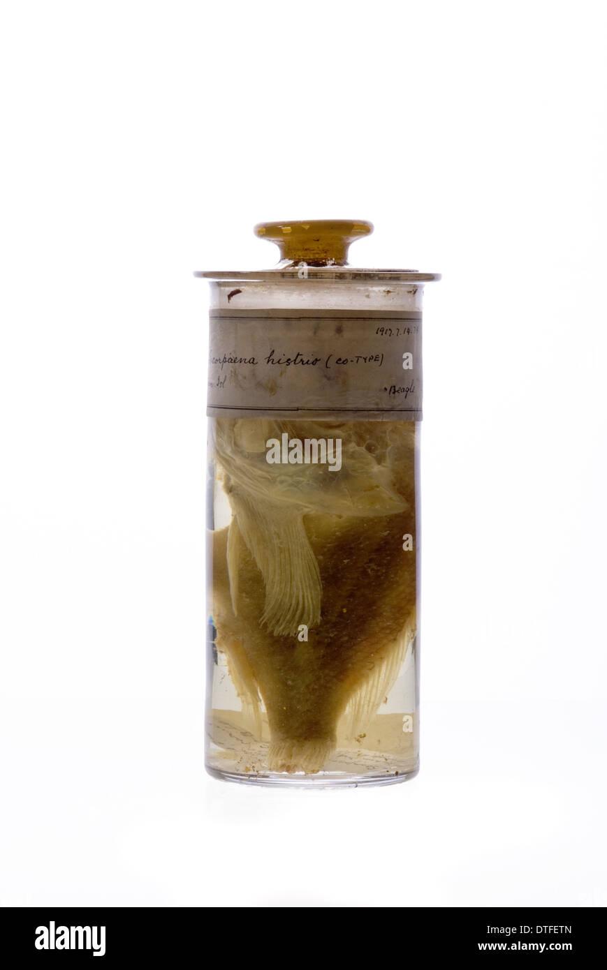 Scorpaena histrio, player scorpionfish - Stock Image