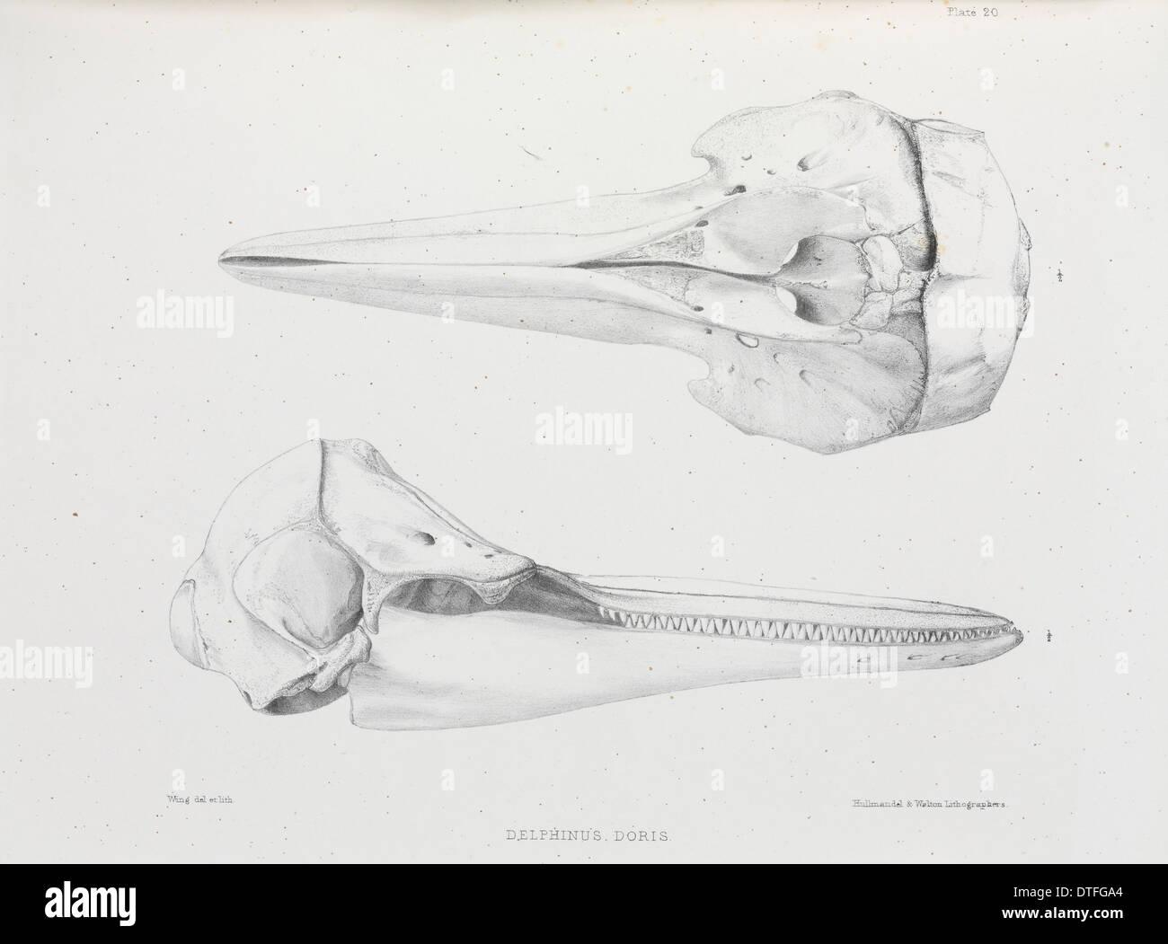 Delphinus doris, plate 20 - Stock Image