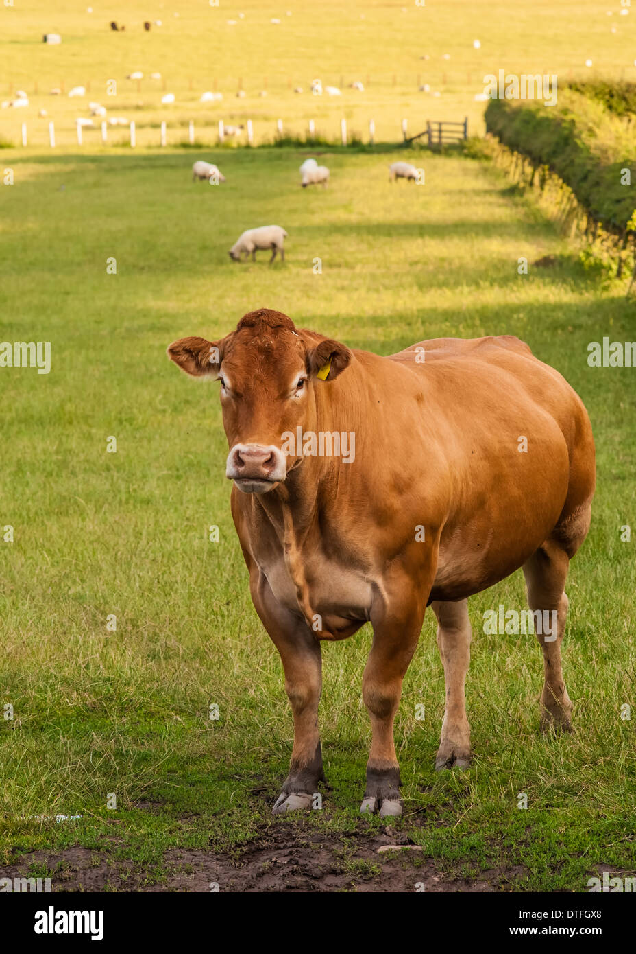 Limousin Cattle / Cow / Bull - Stock Image