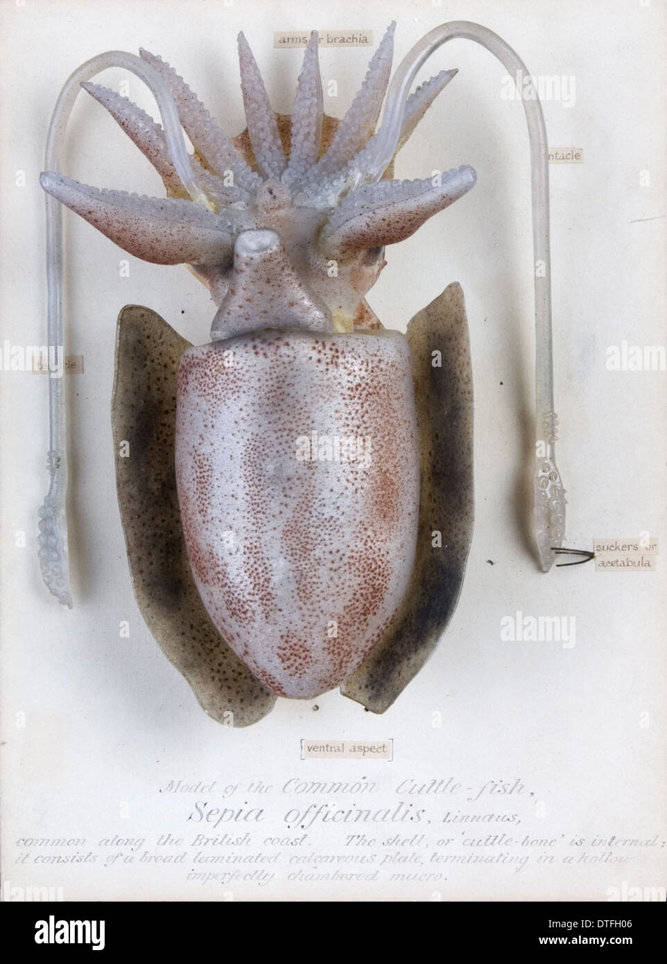Sepia officinalis, squid - Stock Image