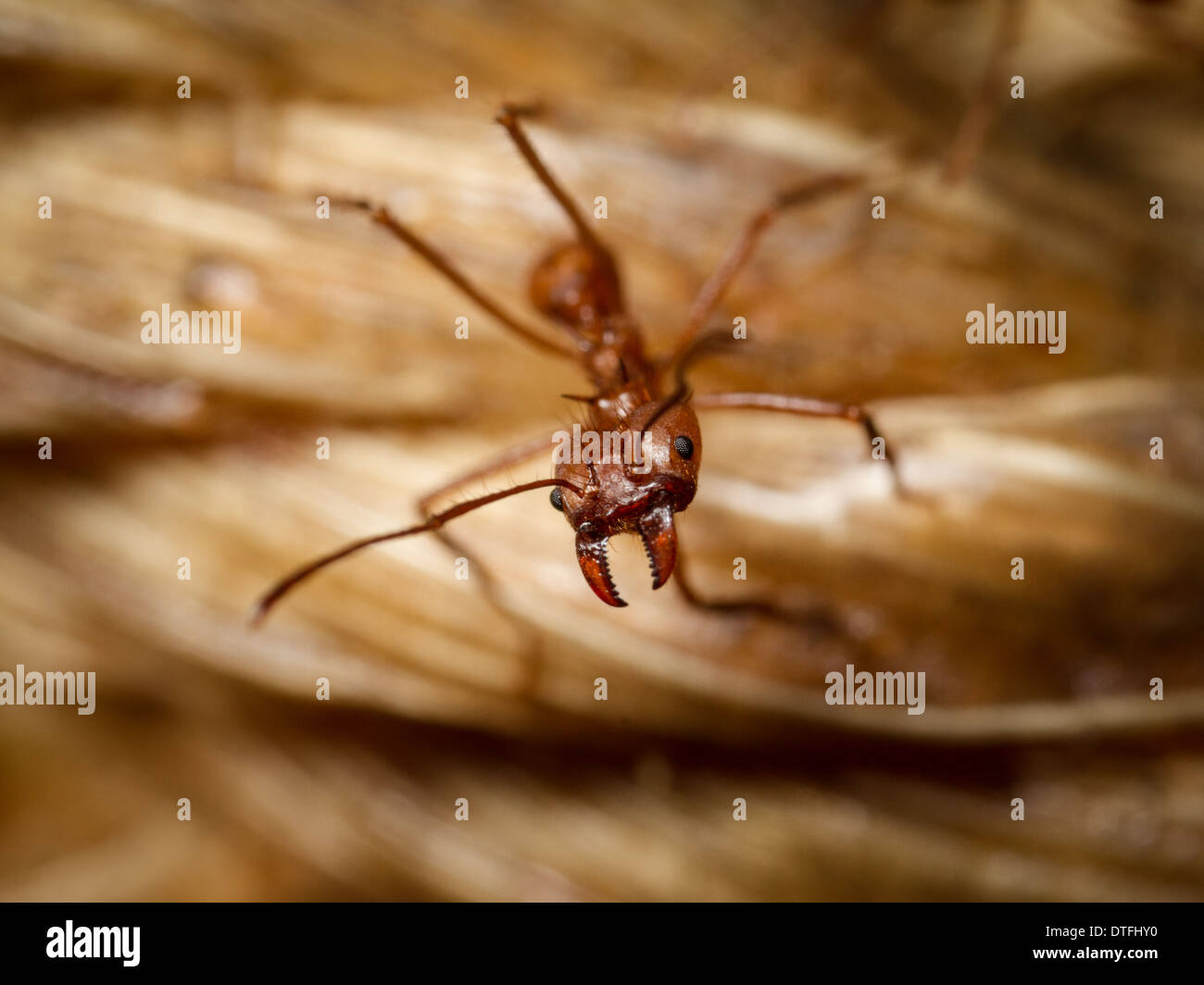 Leaf-cutter ant (Atta cephalotes) soldier - Stock Image