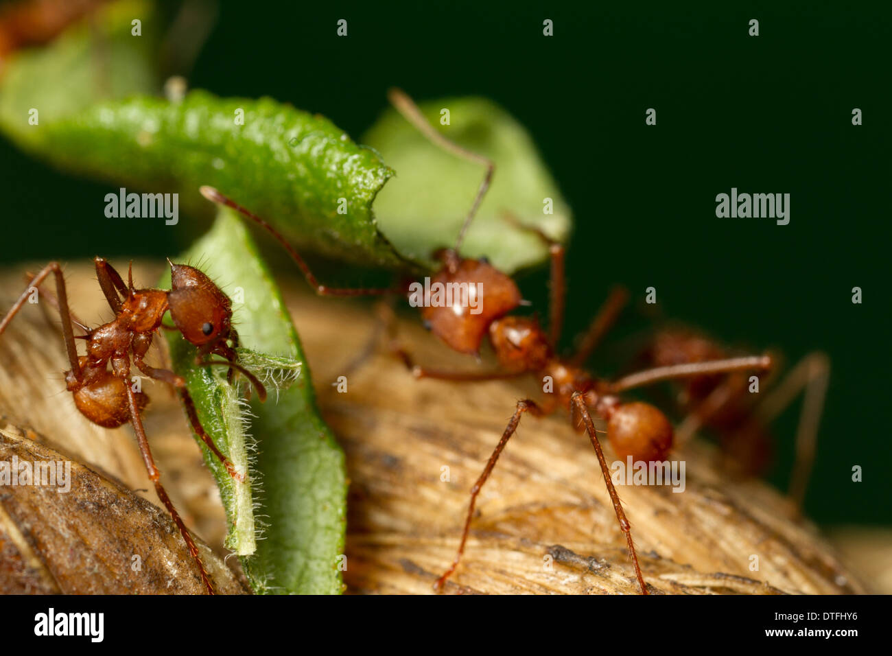 Leaf-cutter ants (Atta cephalotes) - Stock Image