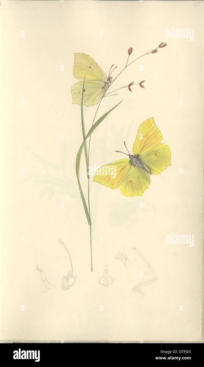 Brimstone by John Curtis (1791 - 1862) - Stock Image