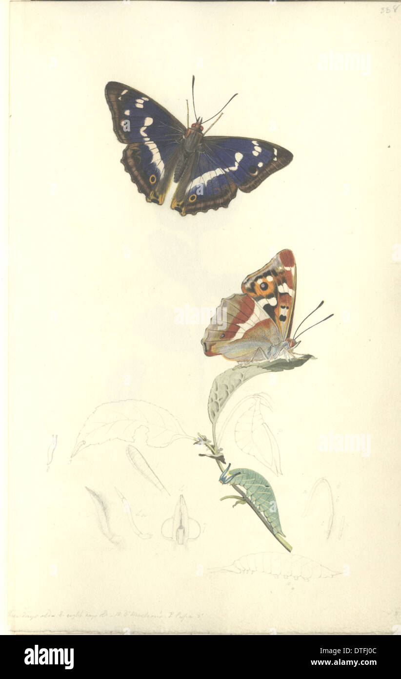 Purple Emperor by John Curtis (1791 - 1862) - Stock Image