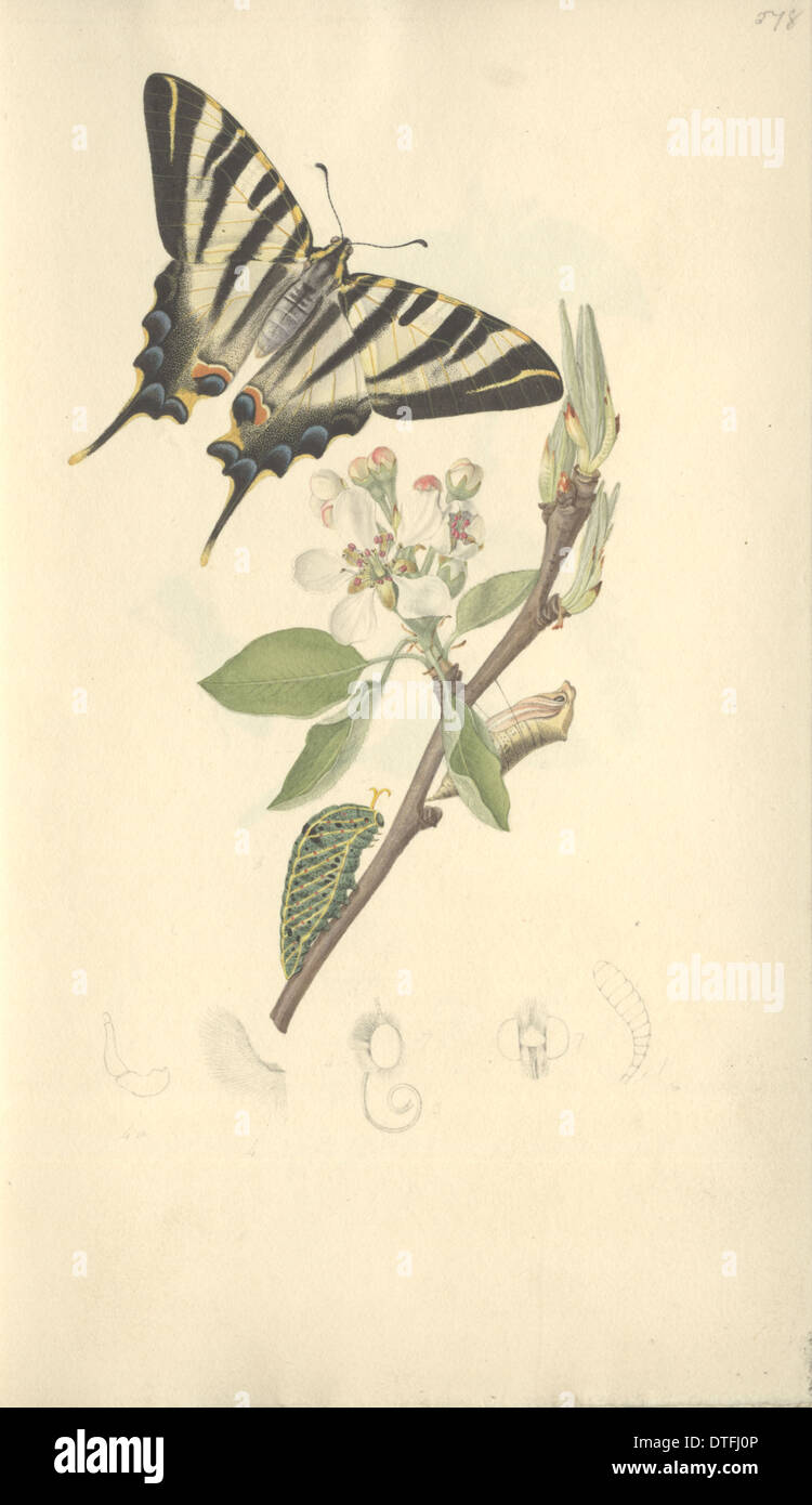 Scarce Swallowtail by John Curtis (1791 - 1862) - Stock Image