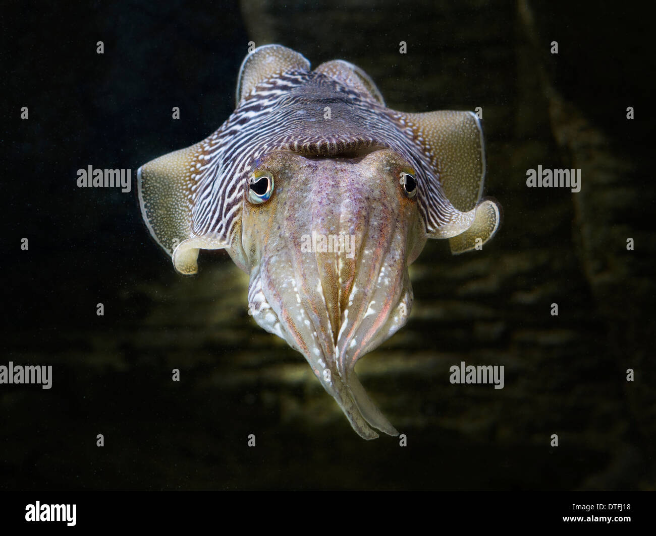European common cuttlefish (Sepia officinalis Stock Photo: 66726276 ... for bioluminescent cuttlefish  165jwn