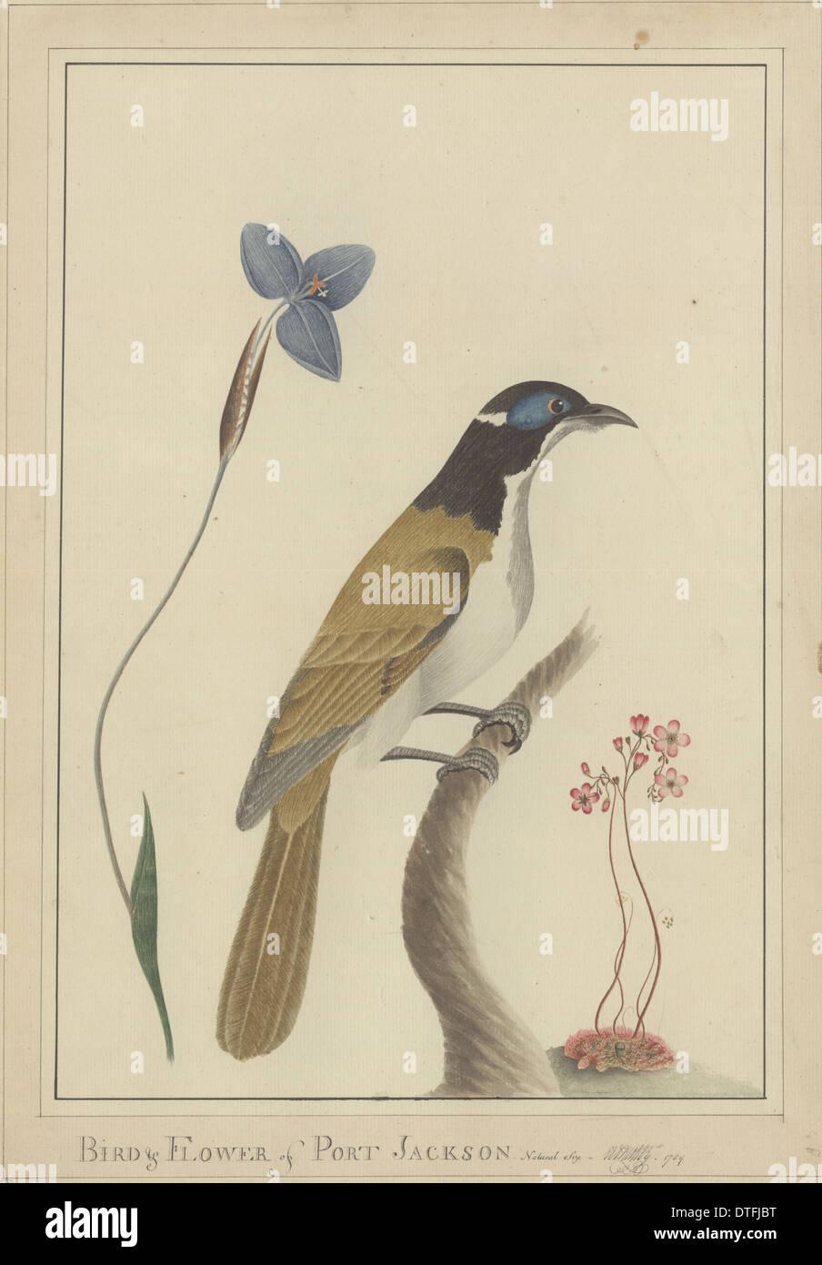 Bird & Flower of Port Jackson - Stock Image