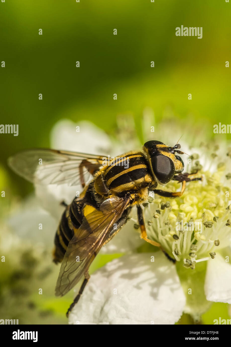 Hover Fly - Stock Image
