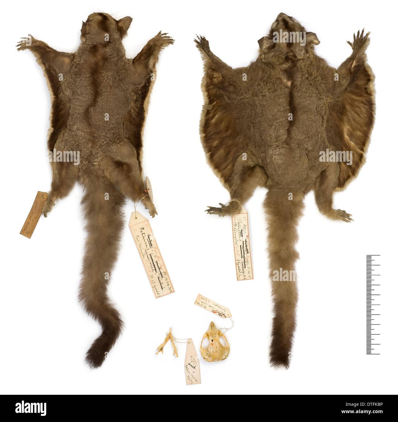 Petaurus breviceps ariel, sugar glider - Stock Image