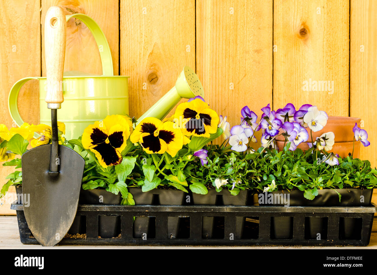 Garden planting with pansies, violas, watering can, trowel, and pots on wood background. - Stock Image