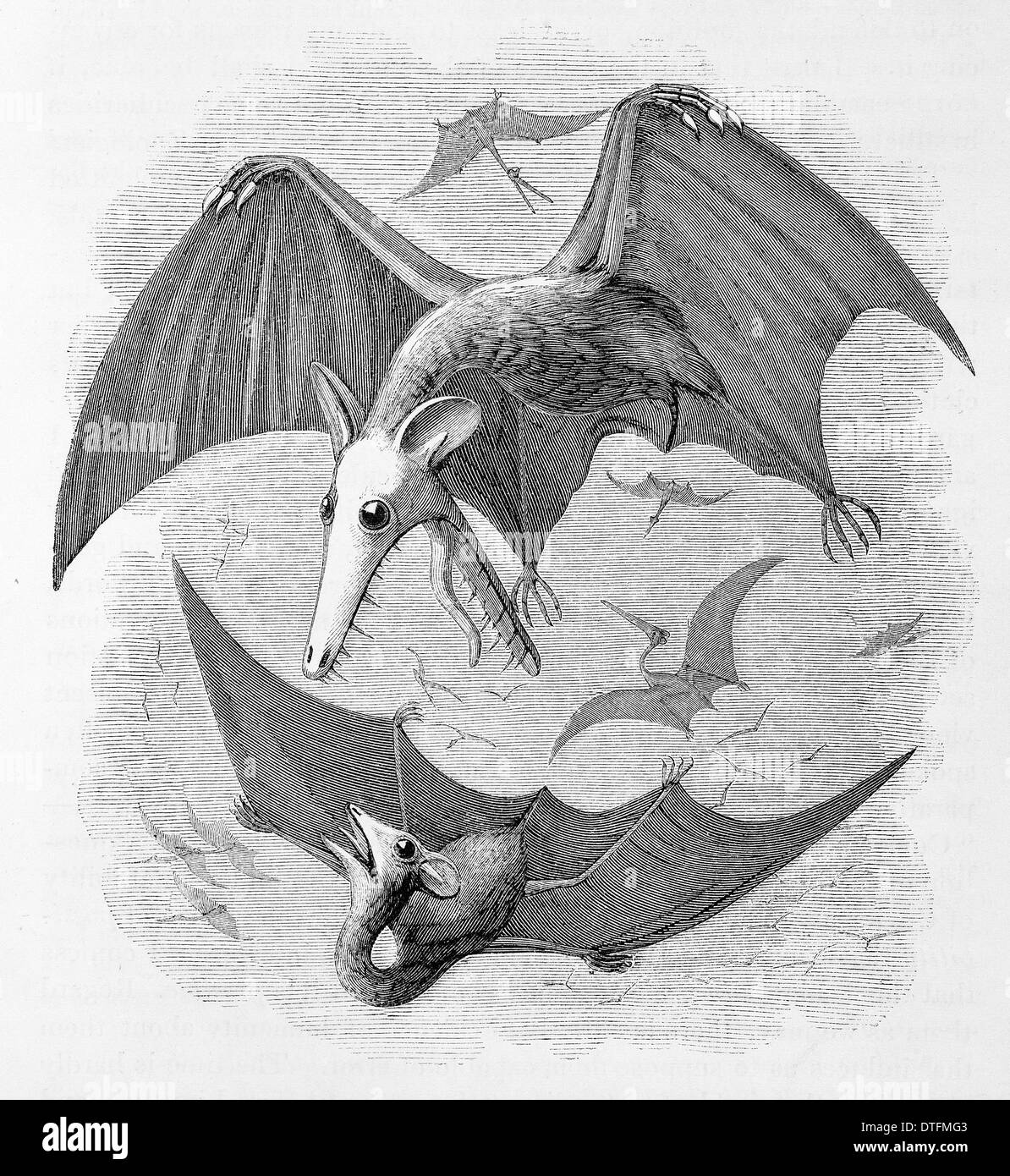 Pterodactyls considered as marsupial bats - Stock Image