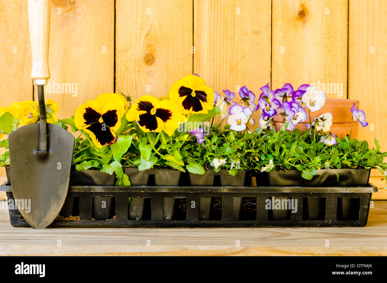 Planting garden with pansies, violas, cultivator, and pots on wood background. - Stock Image