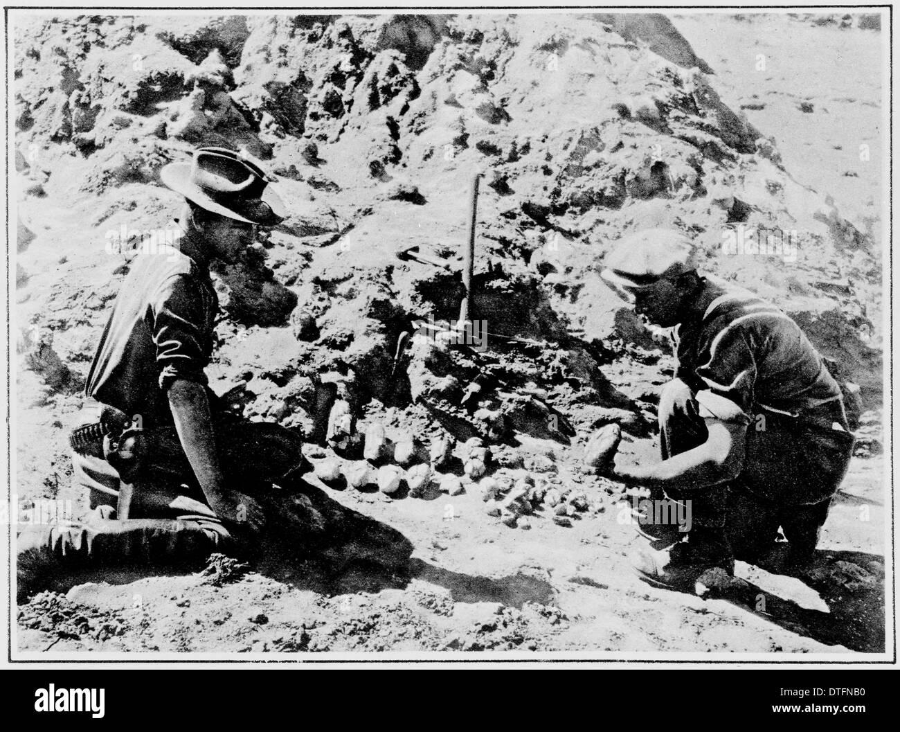 Dinosaur egg excavation, 1925 - Stock Image