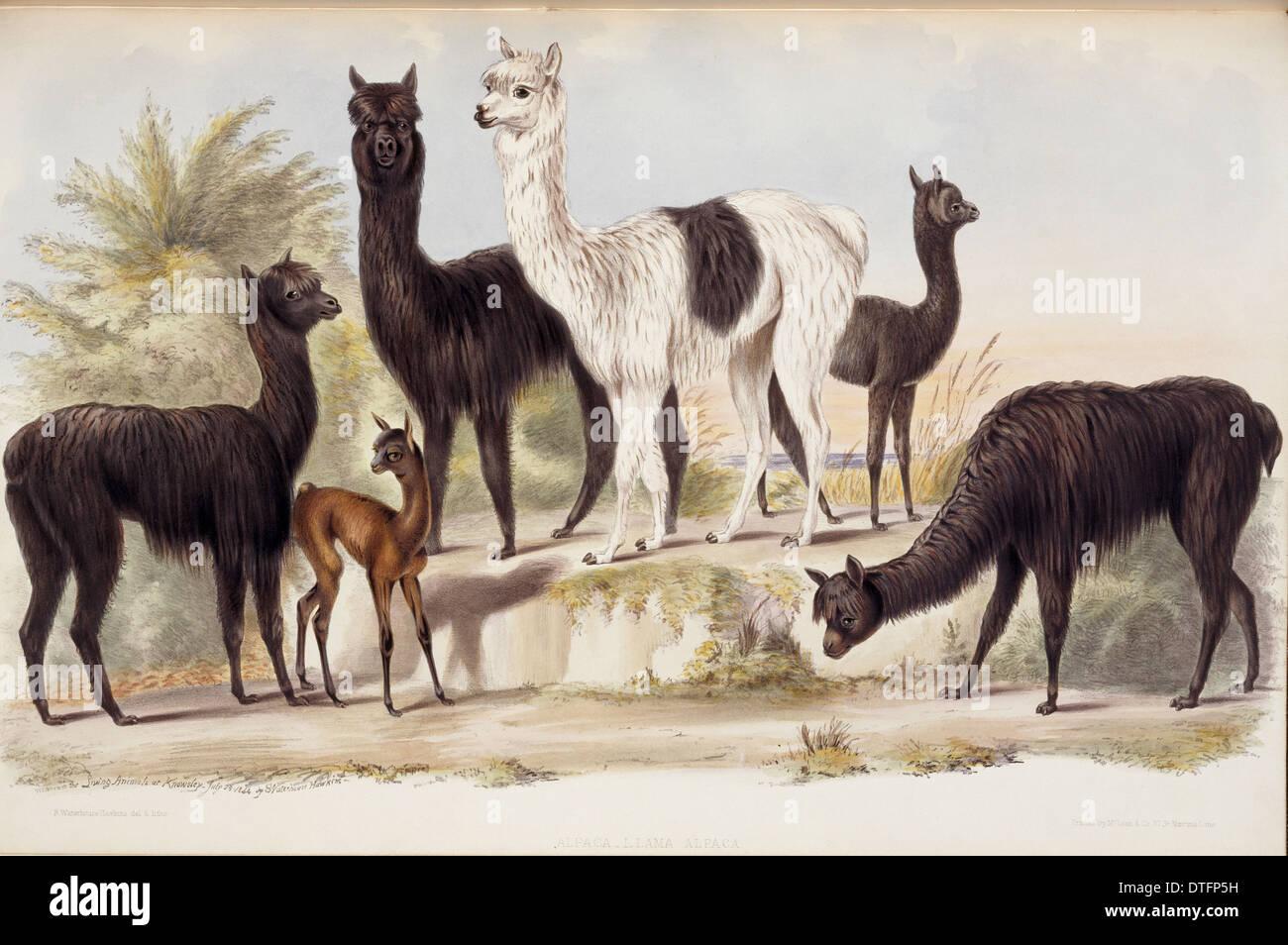 Lama pacos, alpaca - Stock Image