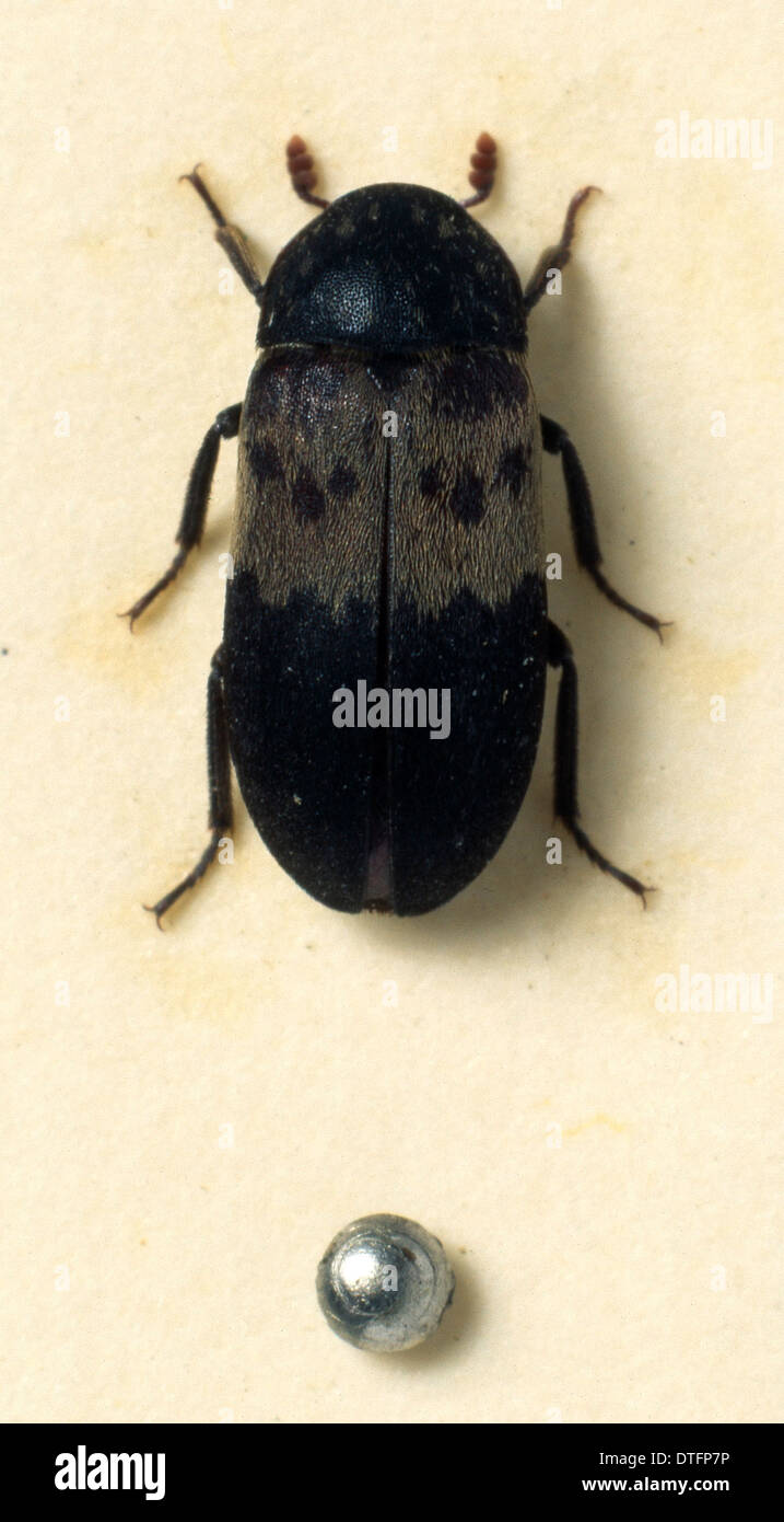 Dermestes lardarius, larder beetle Stock Photo